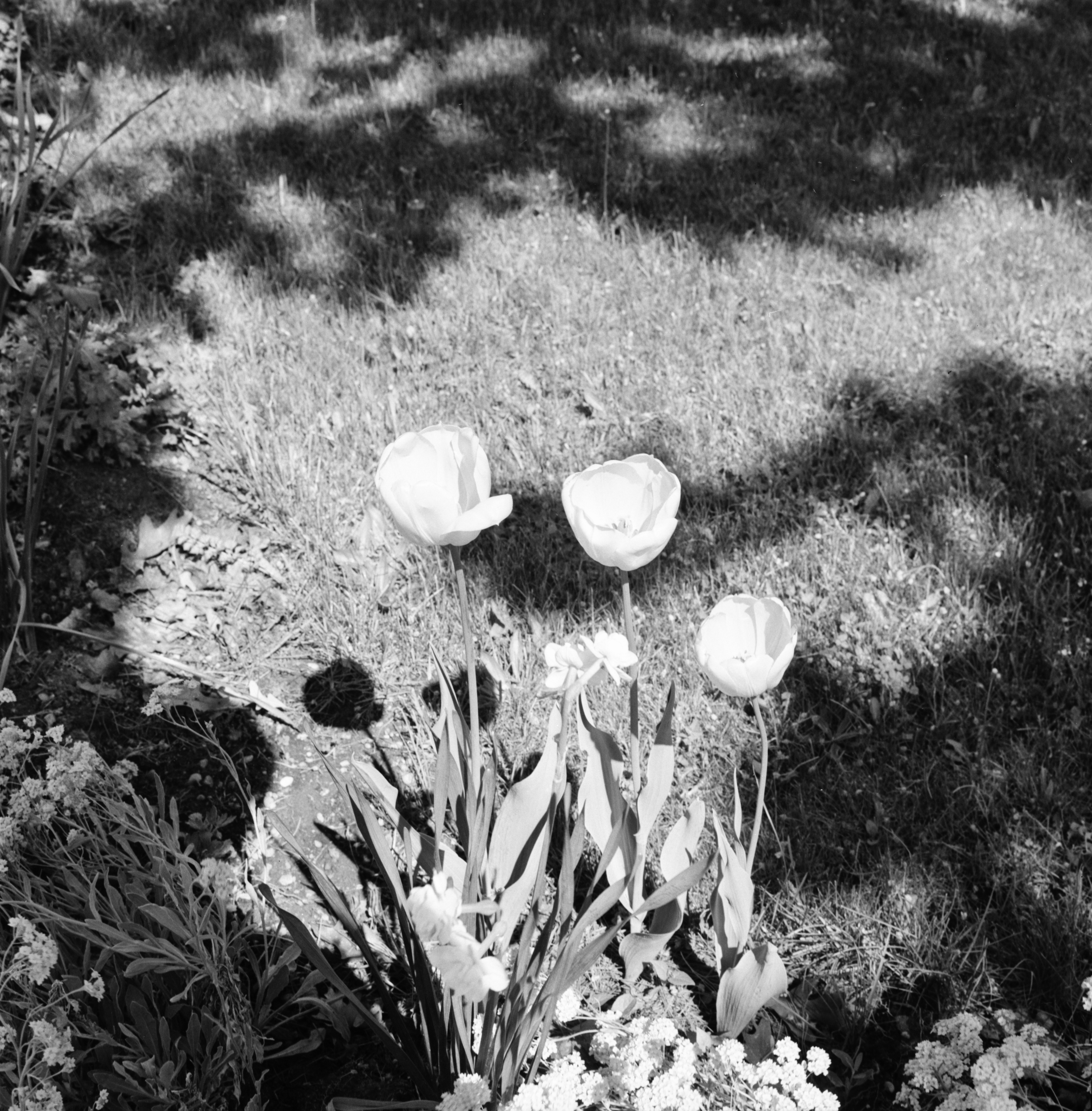 Late Spring Flowers May 1966 Ann Arbor District Library