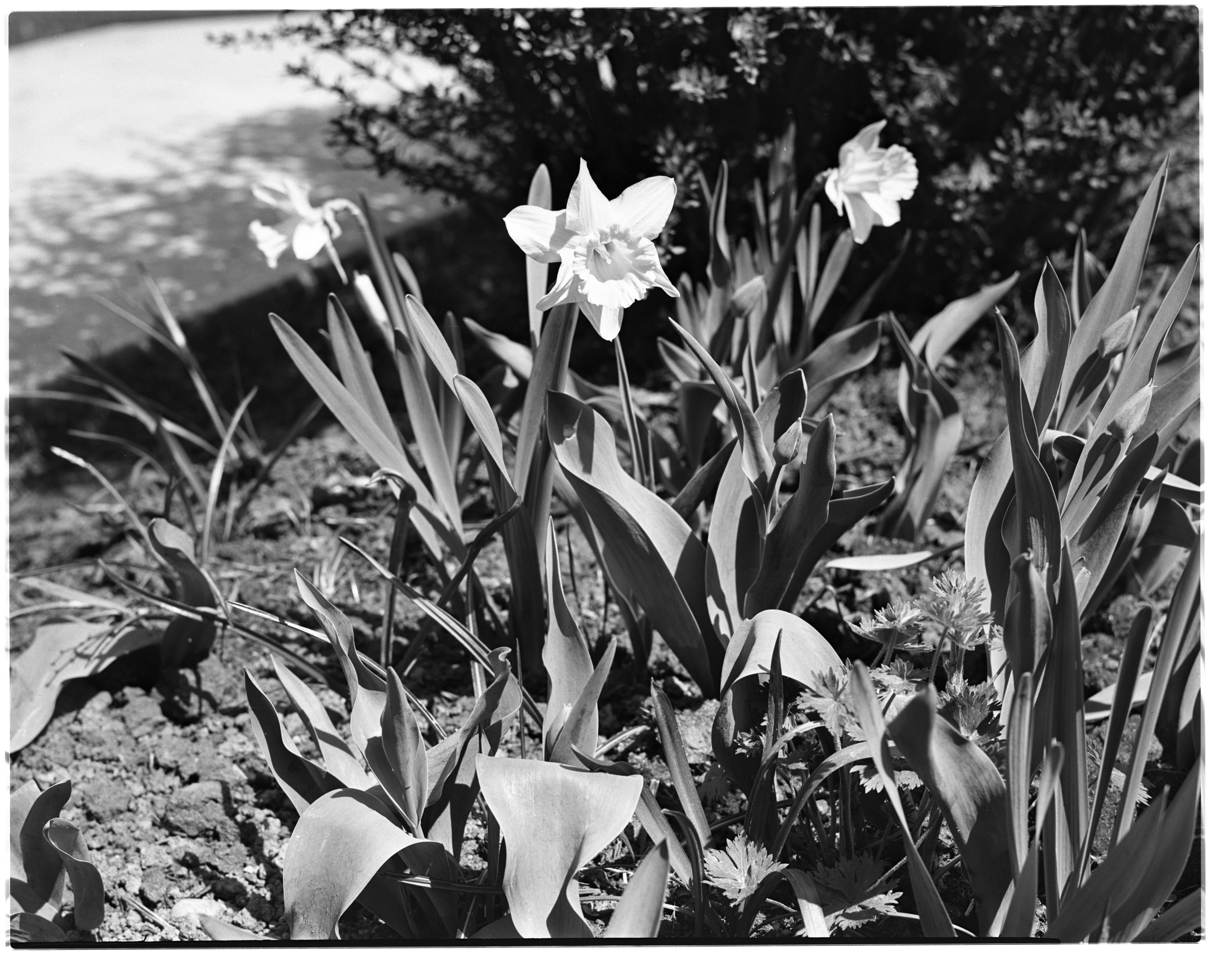 Lemon Lilies at the Arthur W. Stace and Lillian M. Stace Garden image