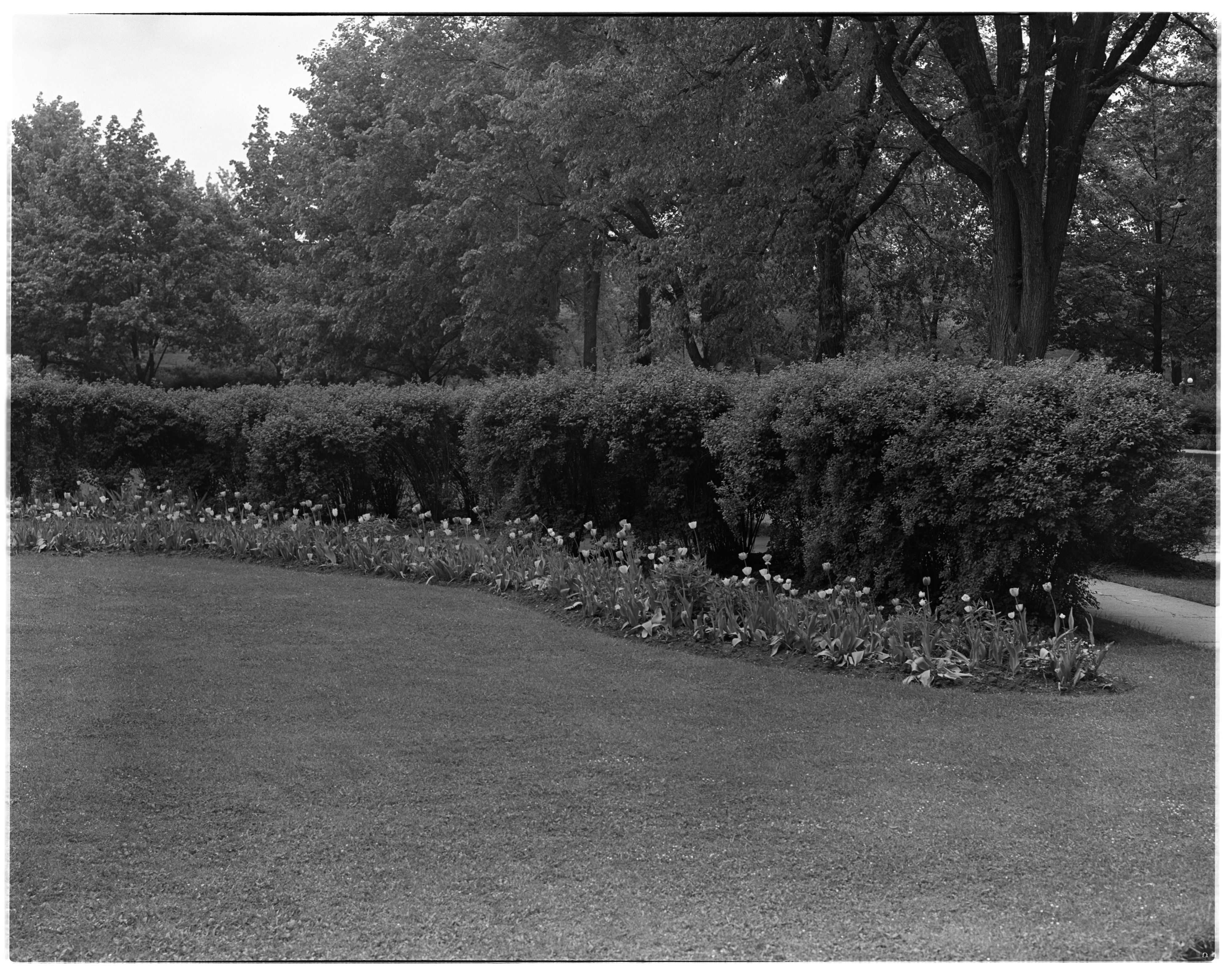 Tulips at the Arthur W. Stace and Lillian M. Stace Garden image