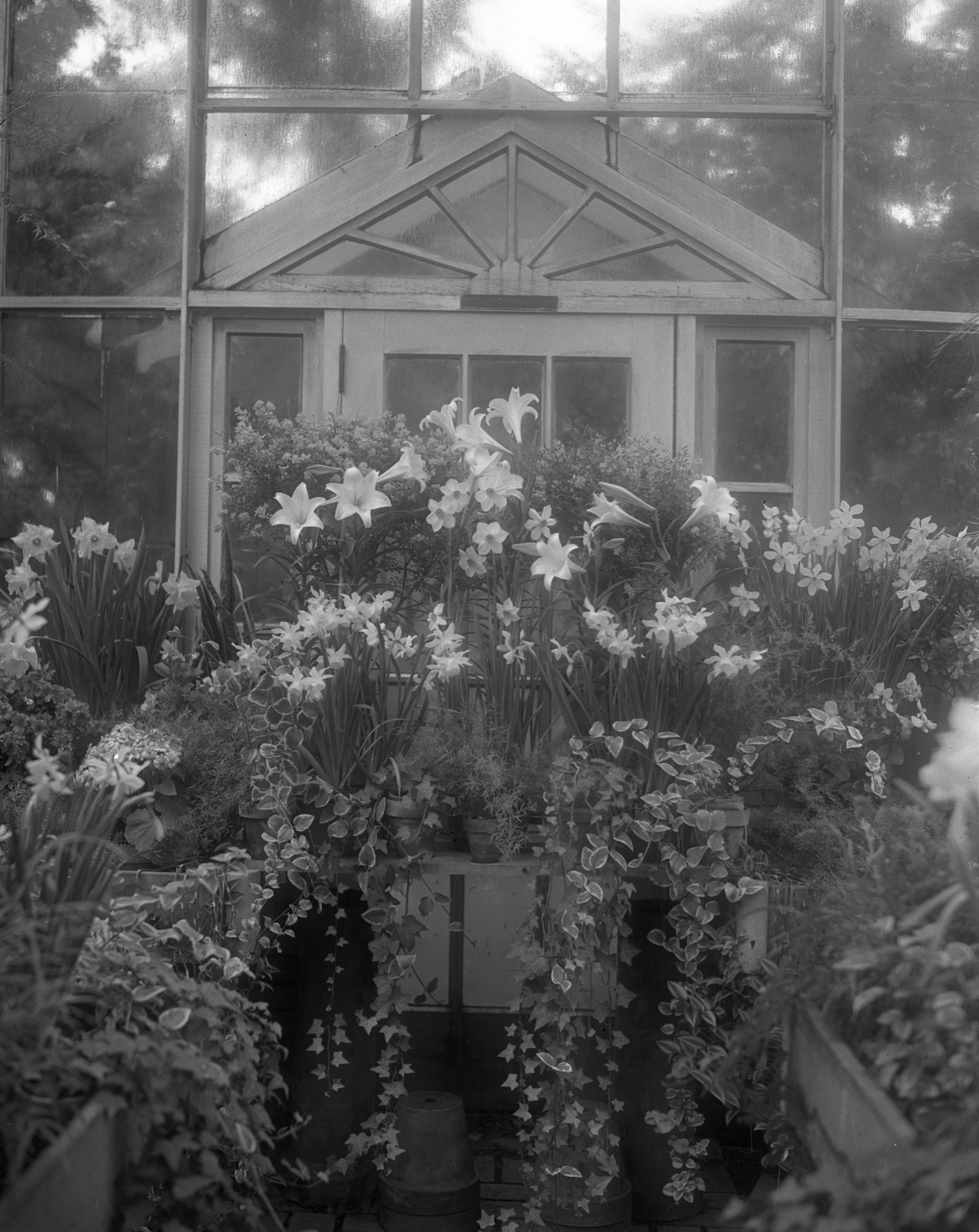 """Carrie Beal Earhart"" Narcissus,  Earhart Greenhouse, April 1944 image"