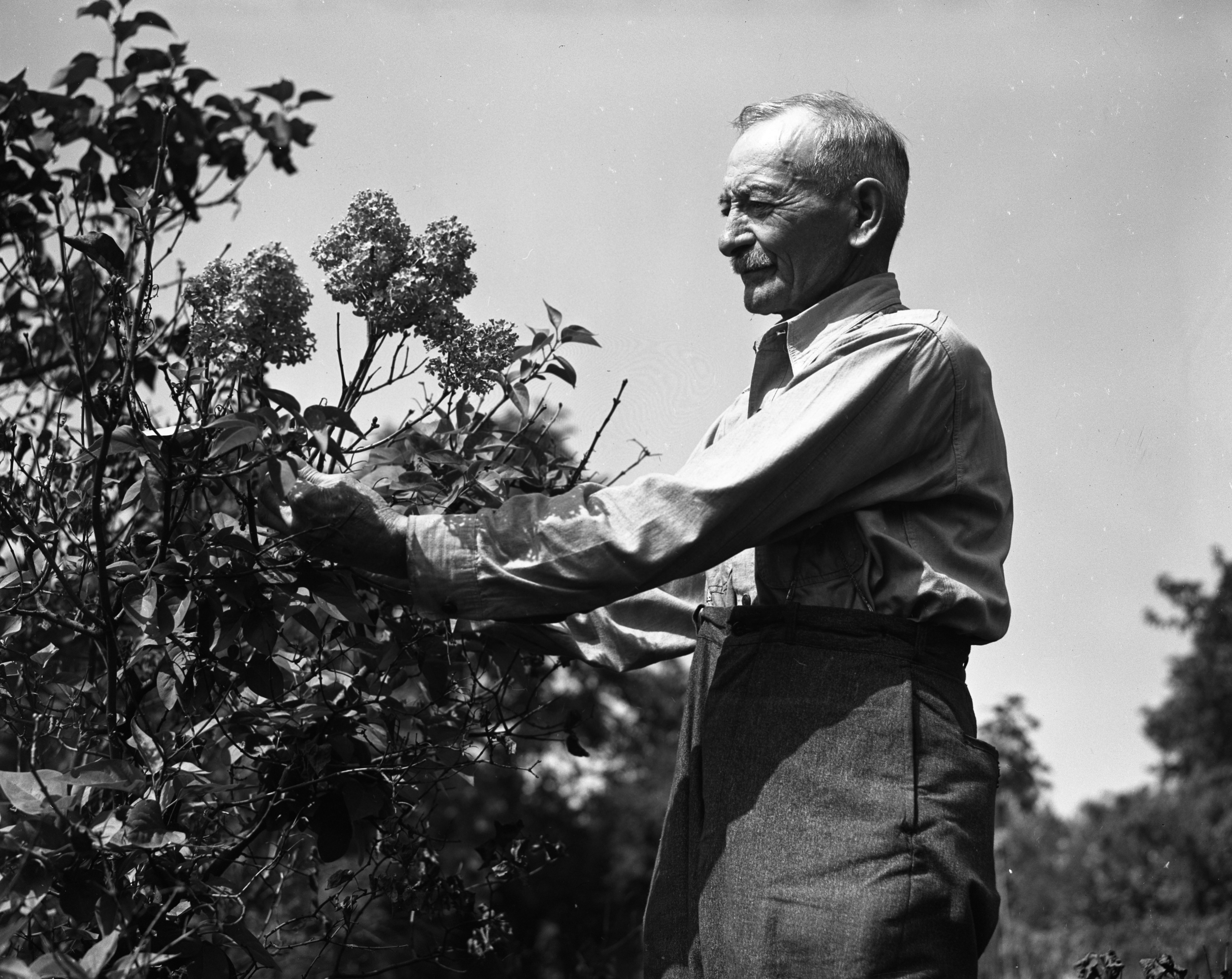 Edward Schlanderer and Lilacs, 727 Miller Ave., September 1946 image