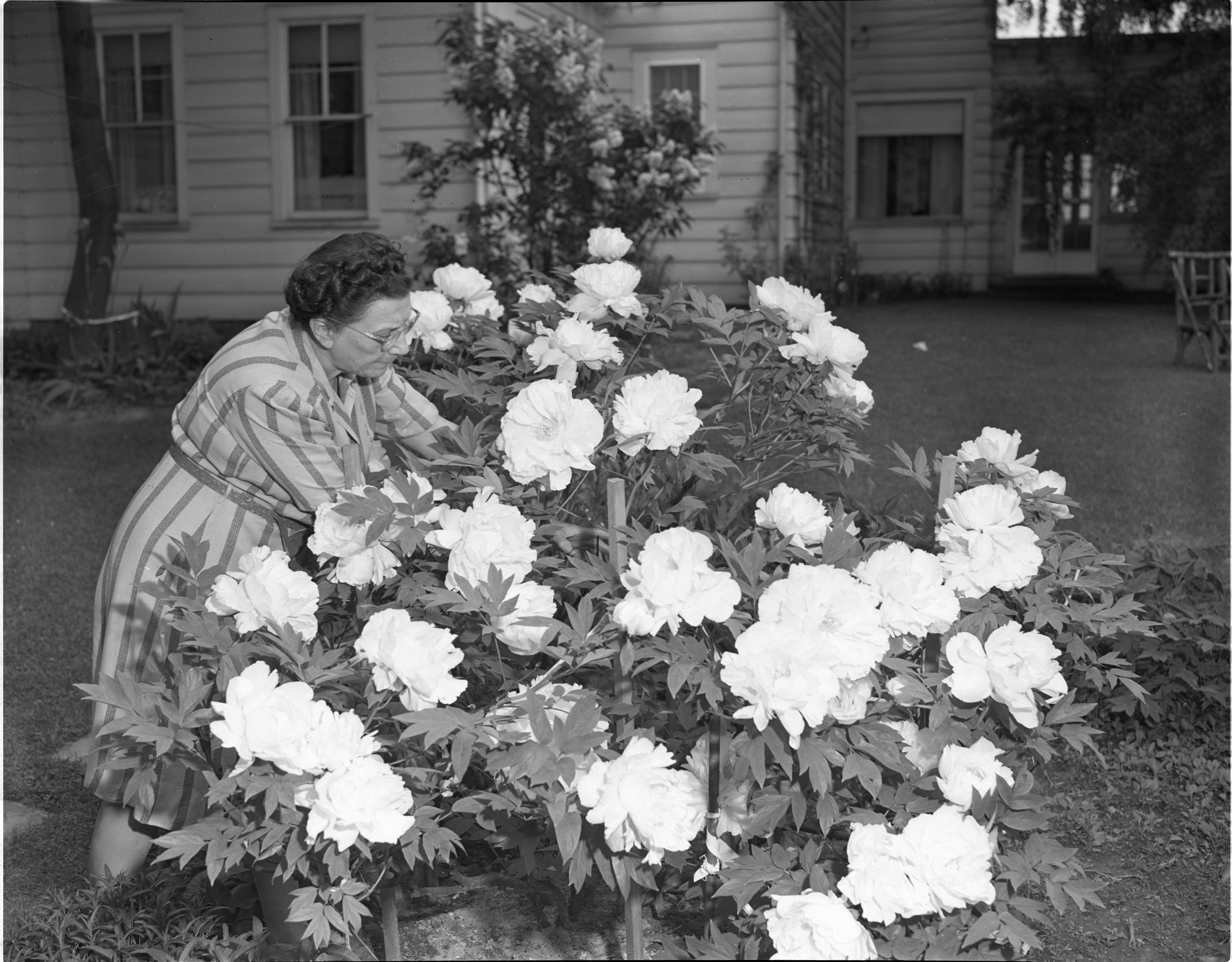 Edith Heusel Tends Her Peony Plant, June 1947 image
