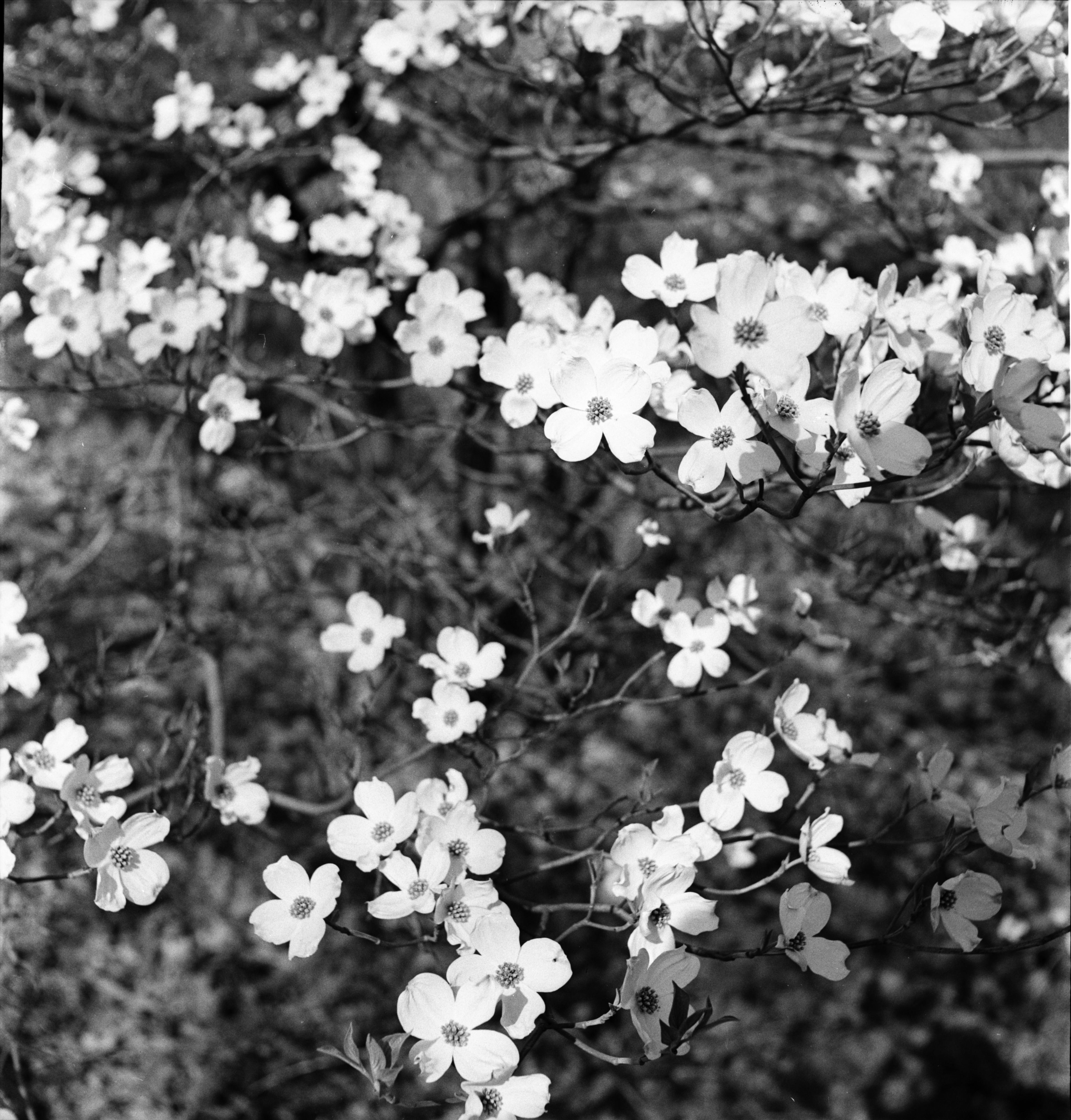Dogwood, Barton Hills, May 1952 image