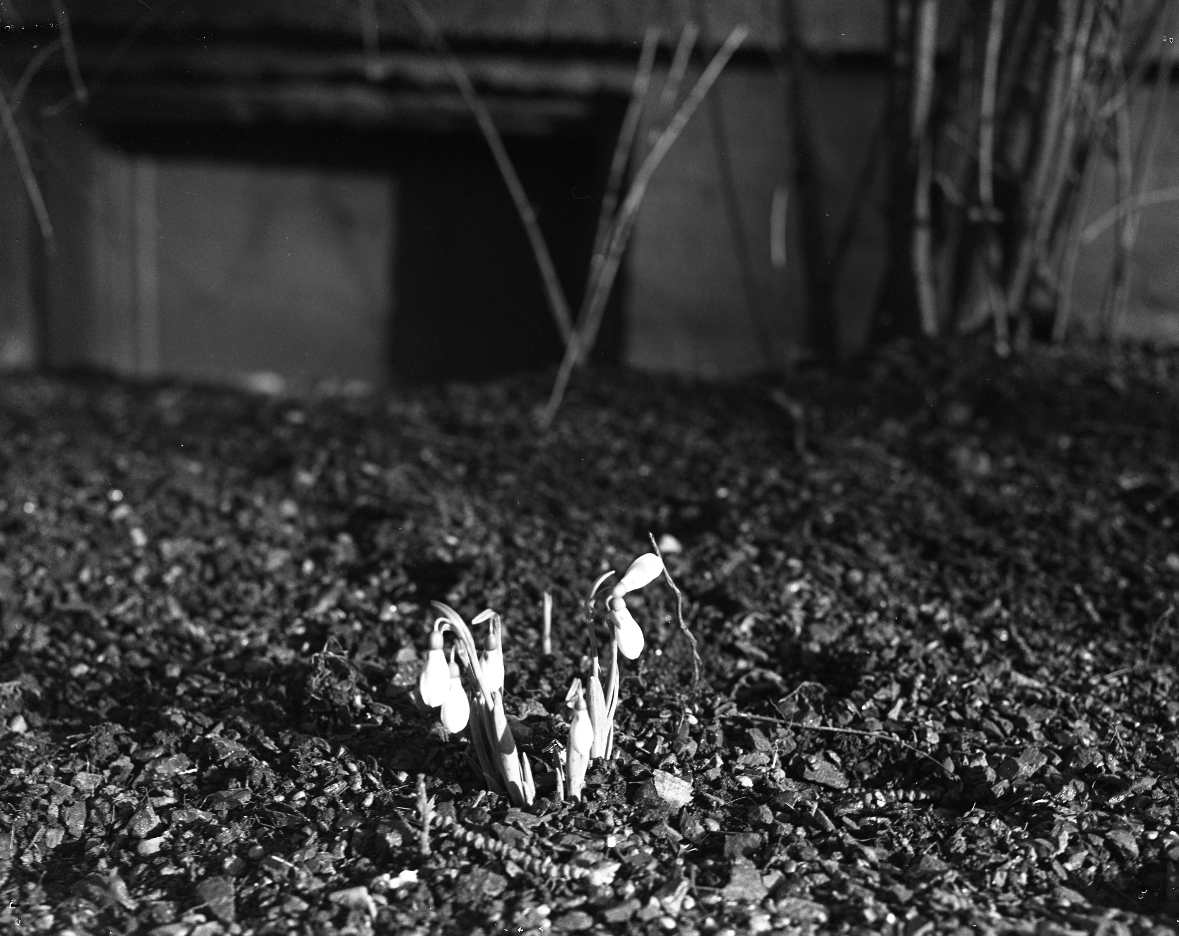 Snowdrops, Junius E. Beal Residence, 5th and William, February 1953 image
