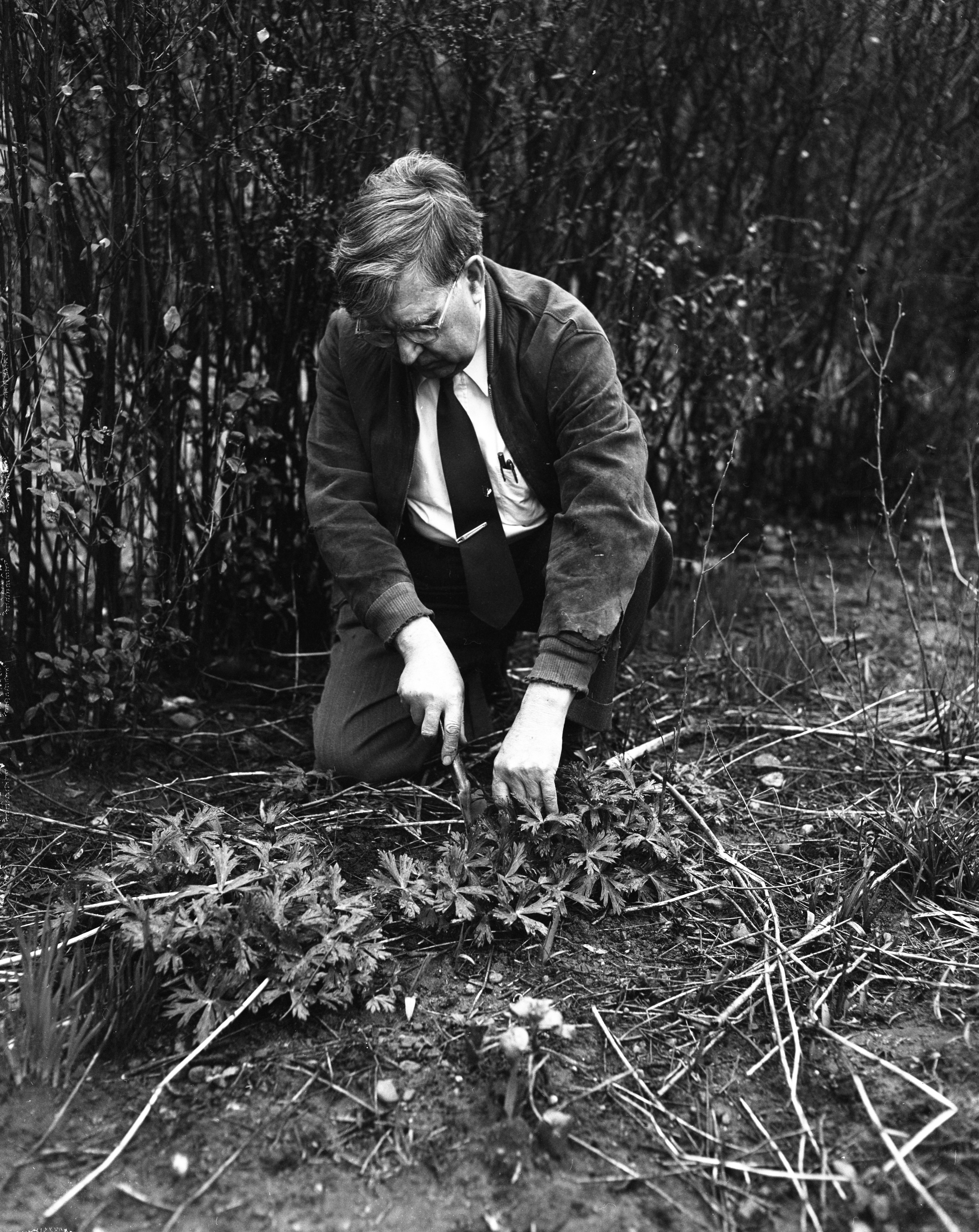 Prof. Felix G. Gustafson and Wildflowers, Church St., April 1954 image