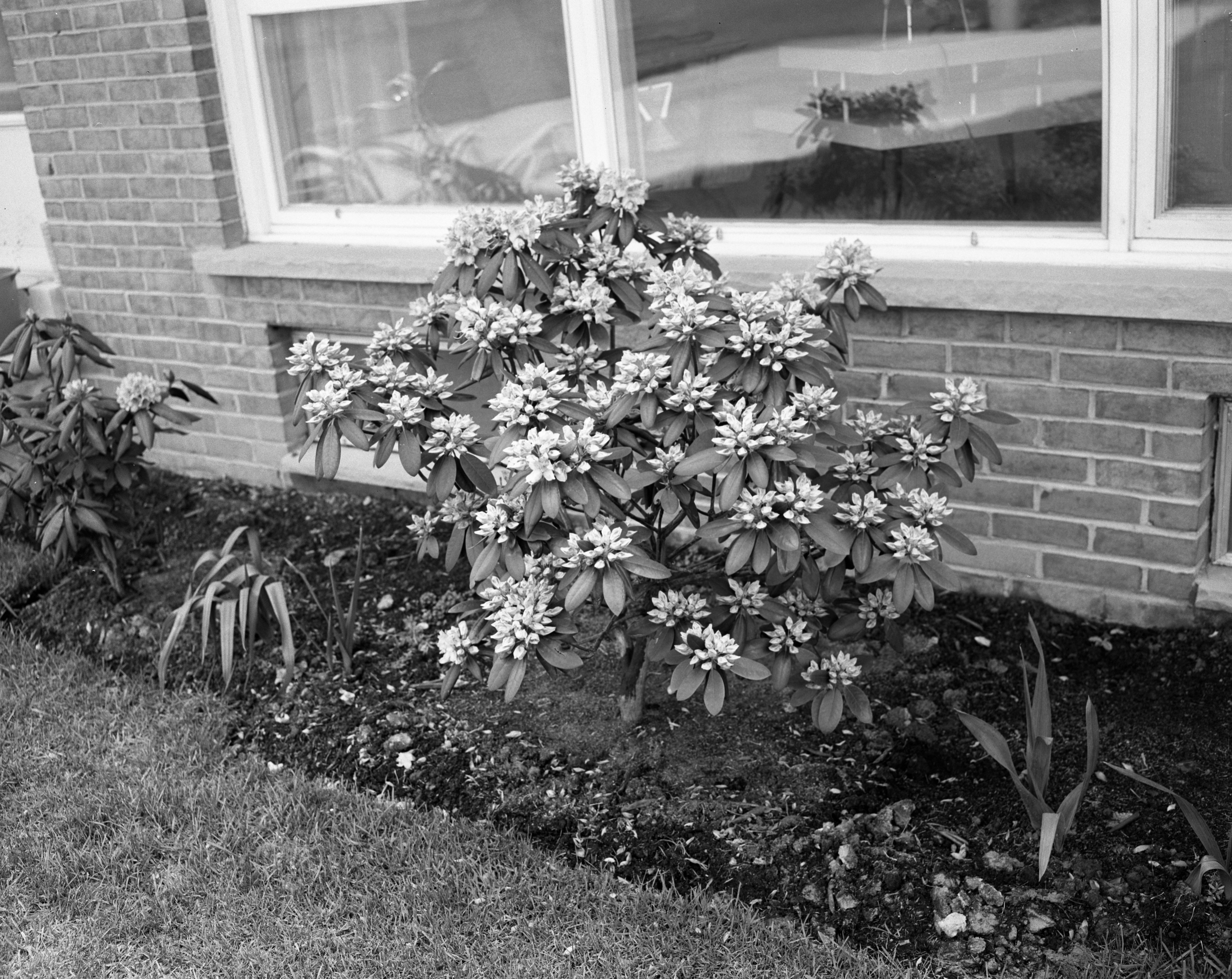 Rhododendron with 112 Blossoms, June 1960 image