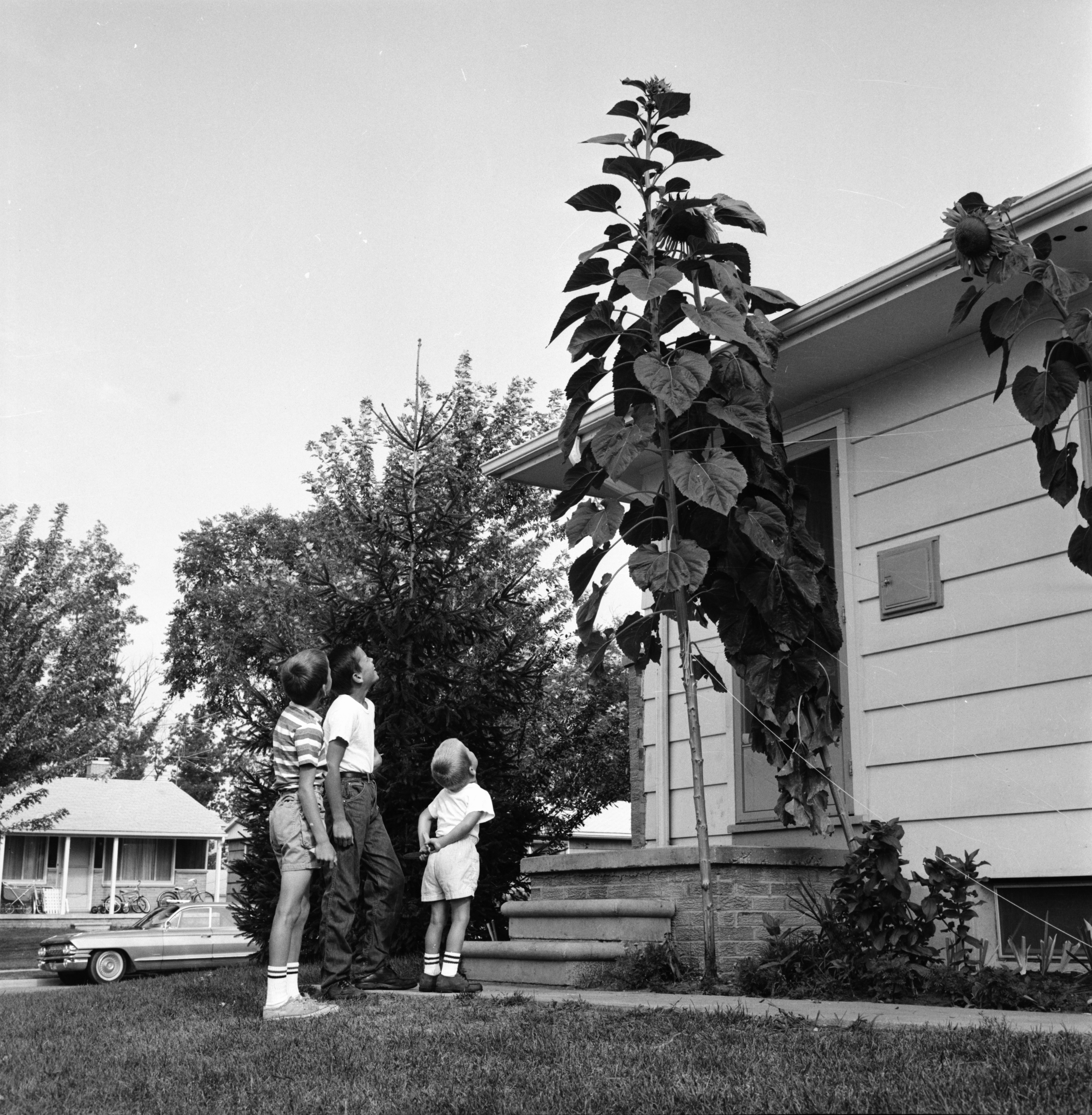 Sunflowers Grow In Yard of John Kennard's Home to Height of 13ft. 8in., August 1963 image