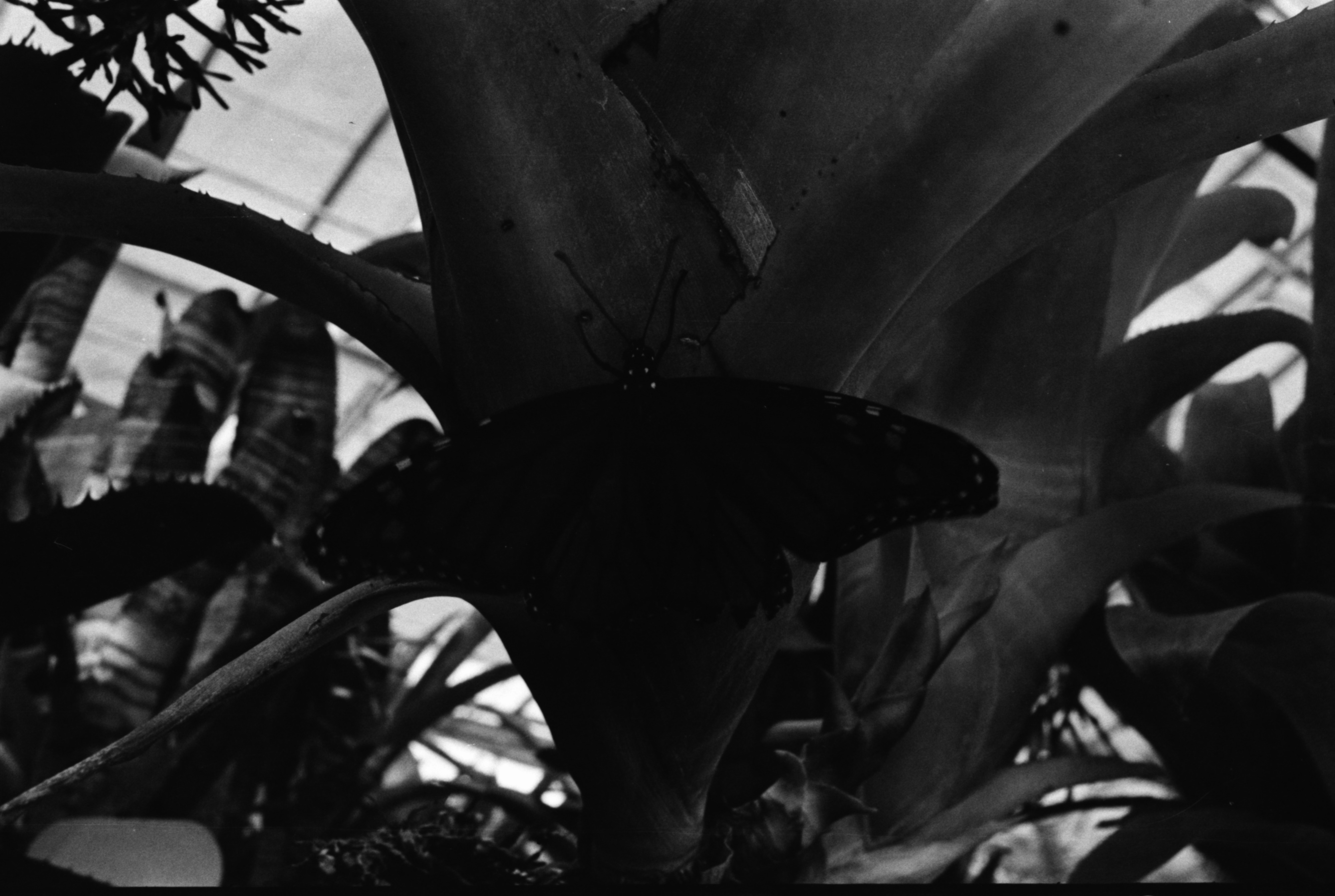 Monarch Butterfly on Plant, September 1970 image