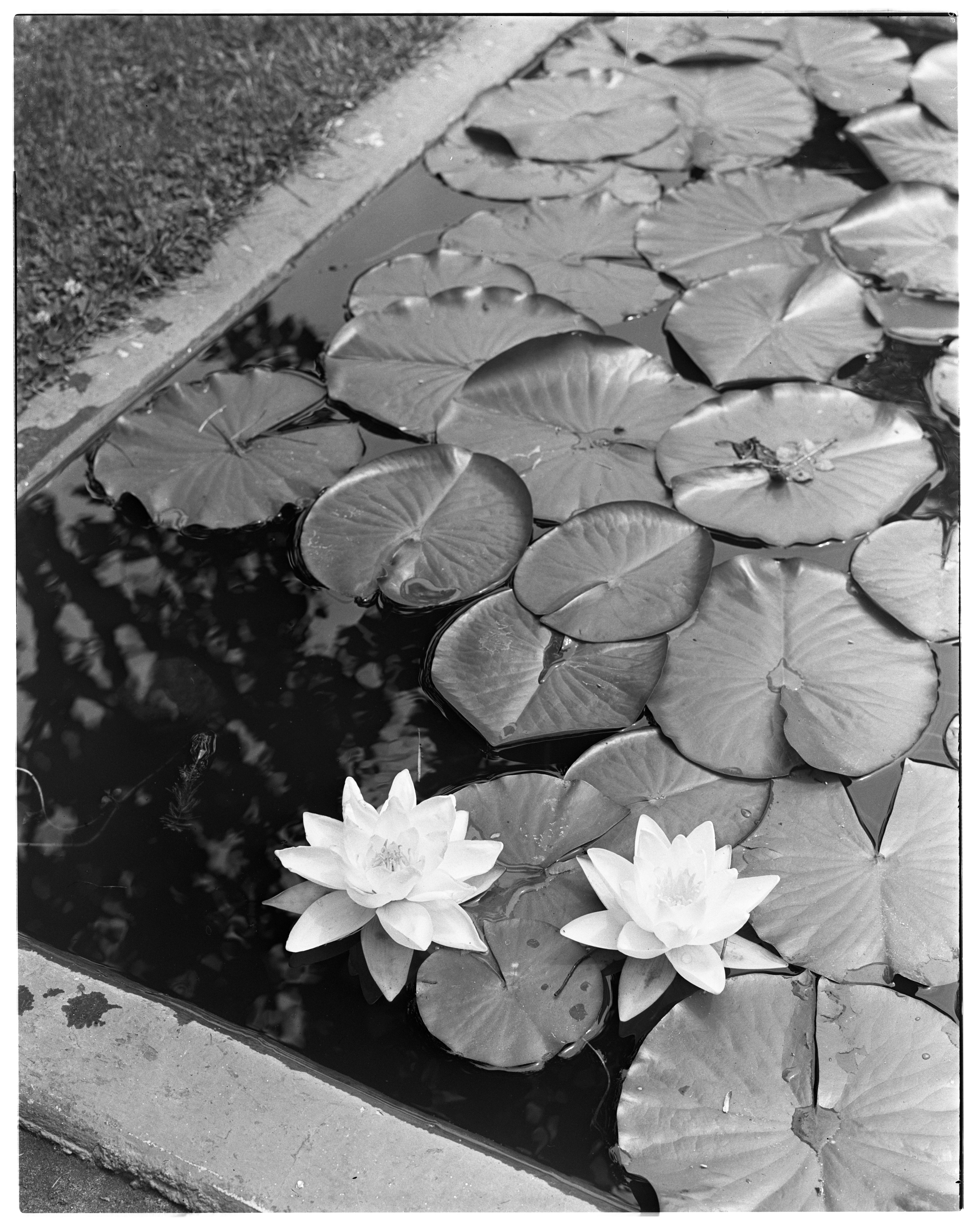 Water Lilies in Frederick J. Heusel and Edith F. Heusel Garden on Spring Street image