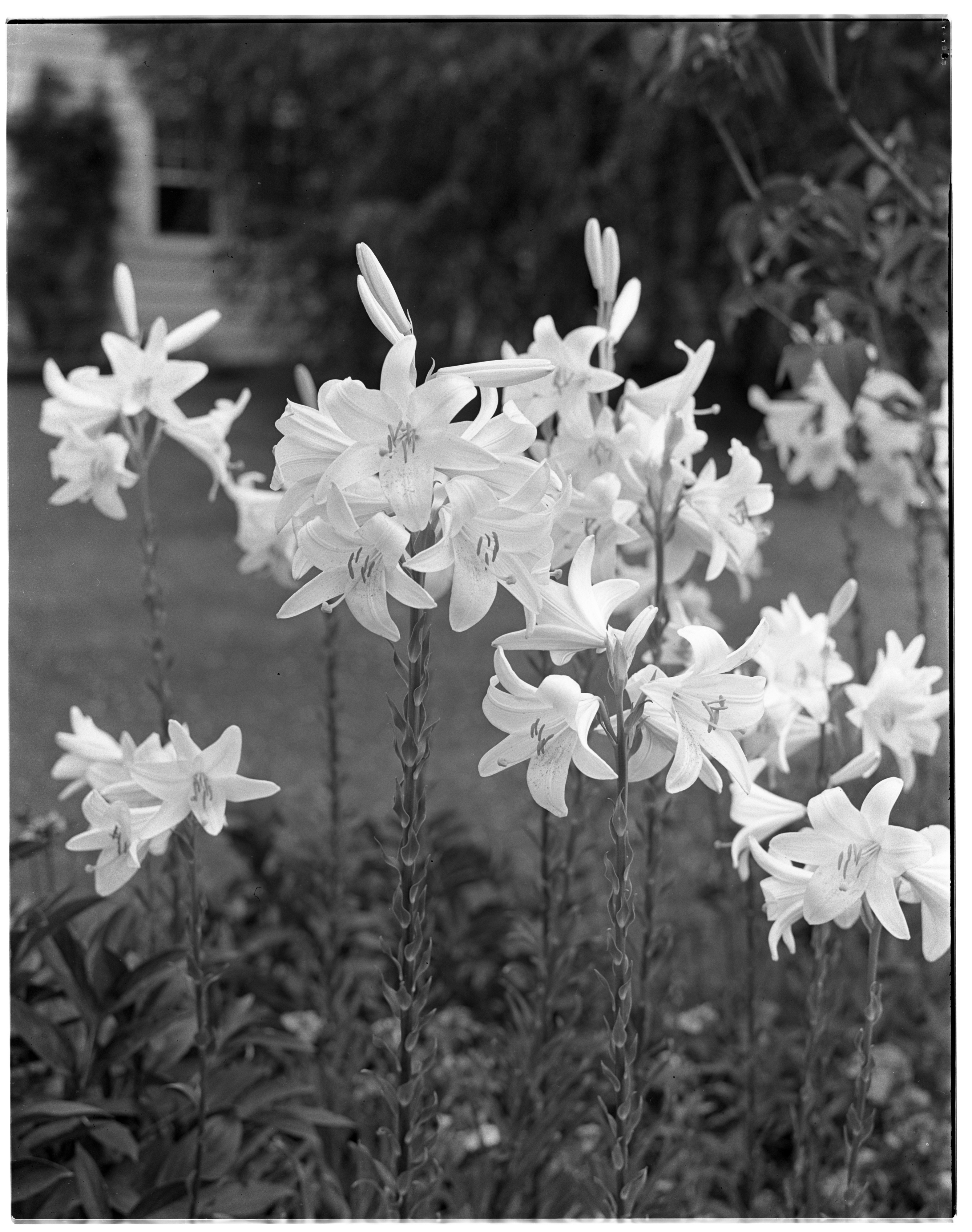 Madonna Lilies in Frederick J. Heusel and Edith F. Heusel Garden on Spring Street image