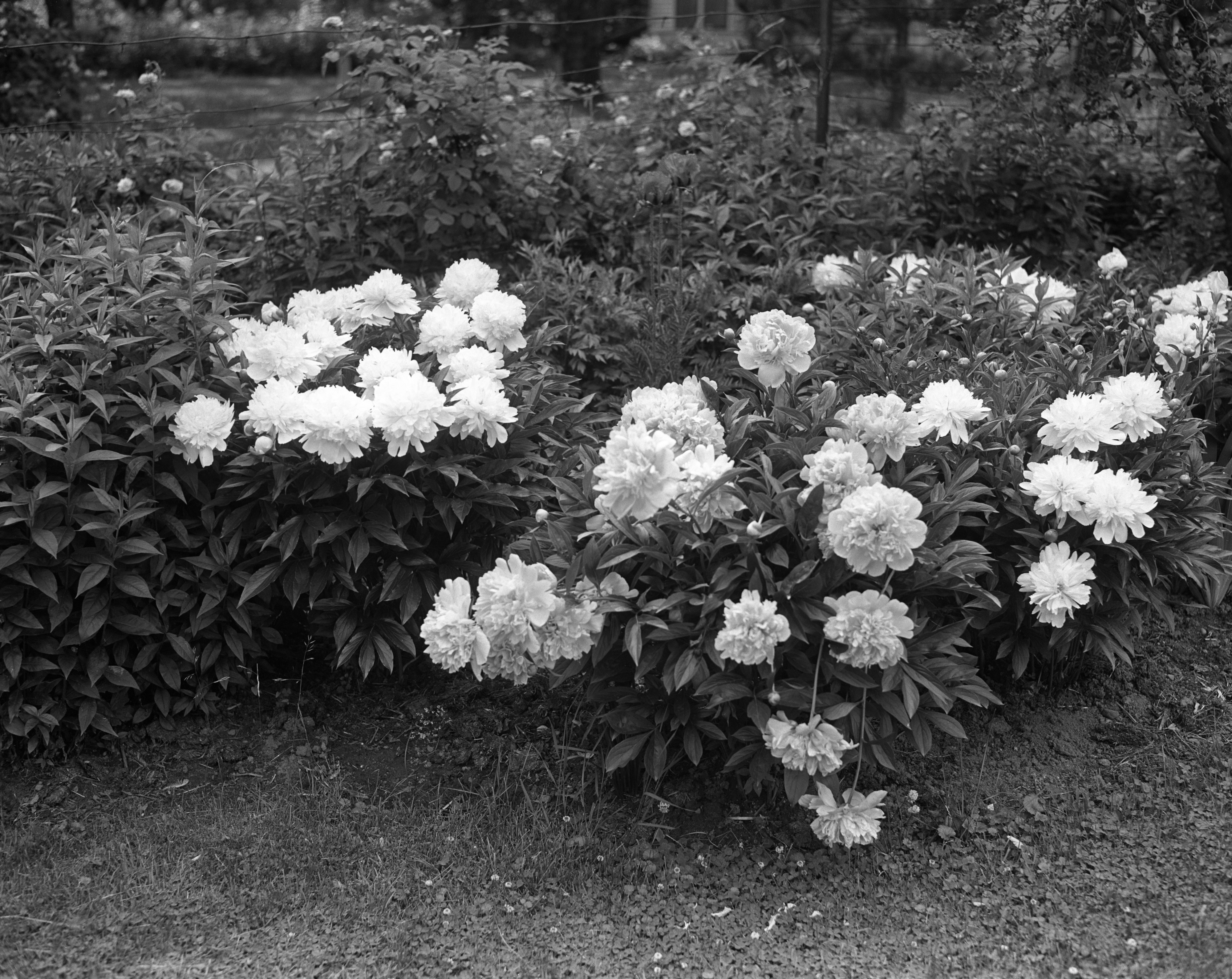 Flowers in Dr. L. P. Hall's Garden, Hill St, June 1941 image