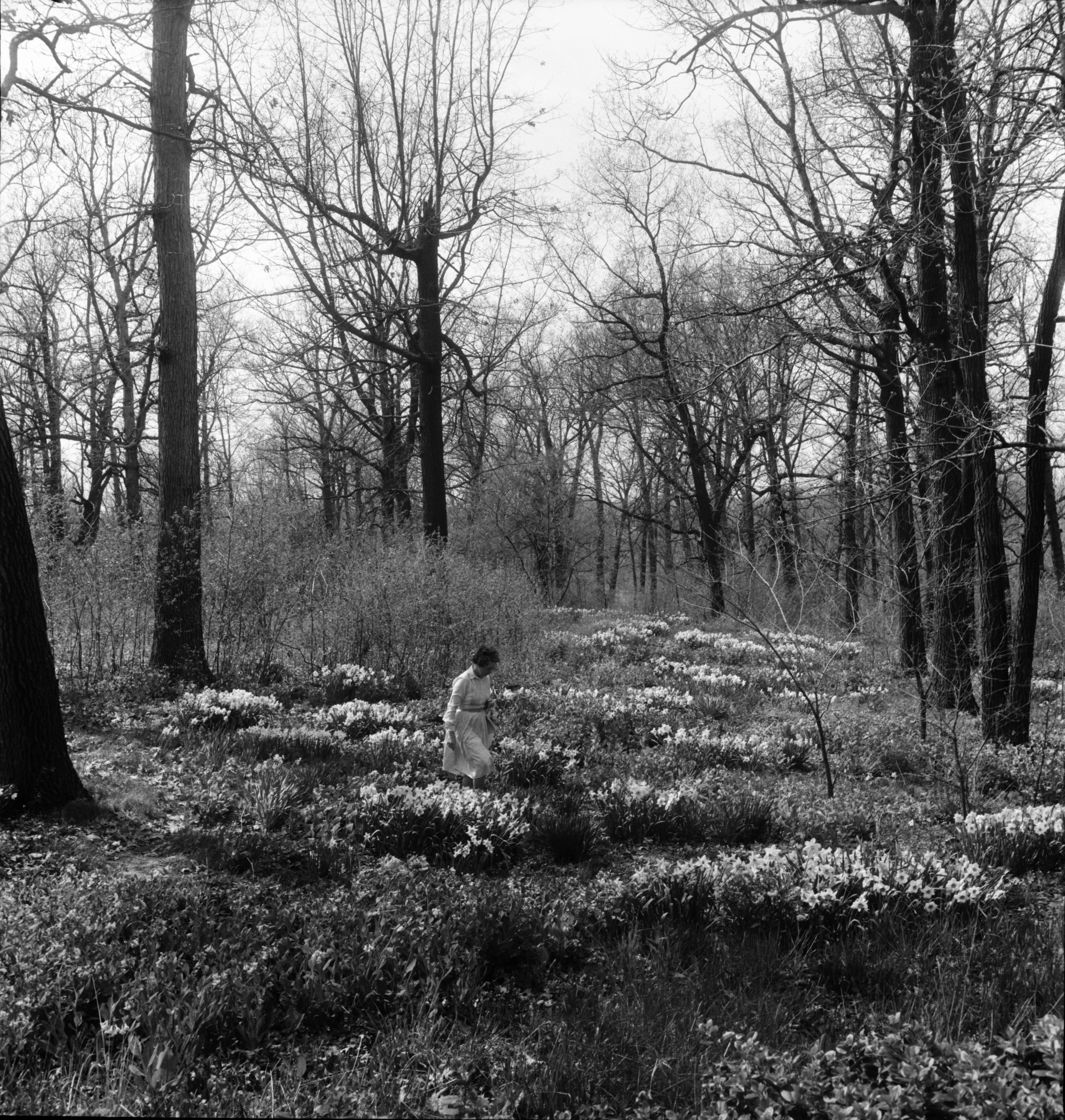 Daffodil Garden of the Merle Dixons, May 1964 image
