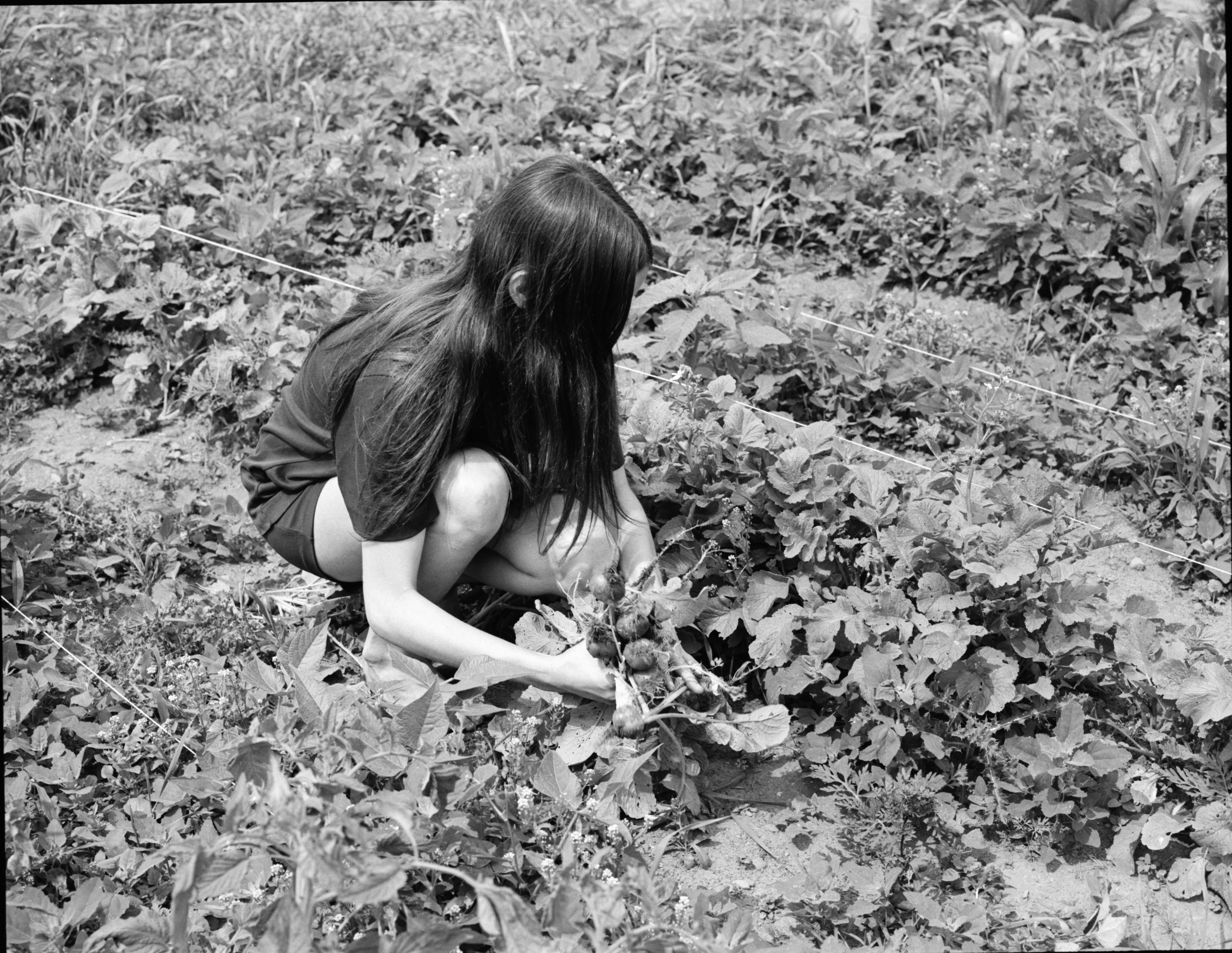 Project Grow, Washtenaw County Juvenile Court Children Working On Gardens, July 1972 image