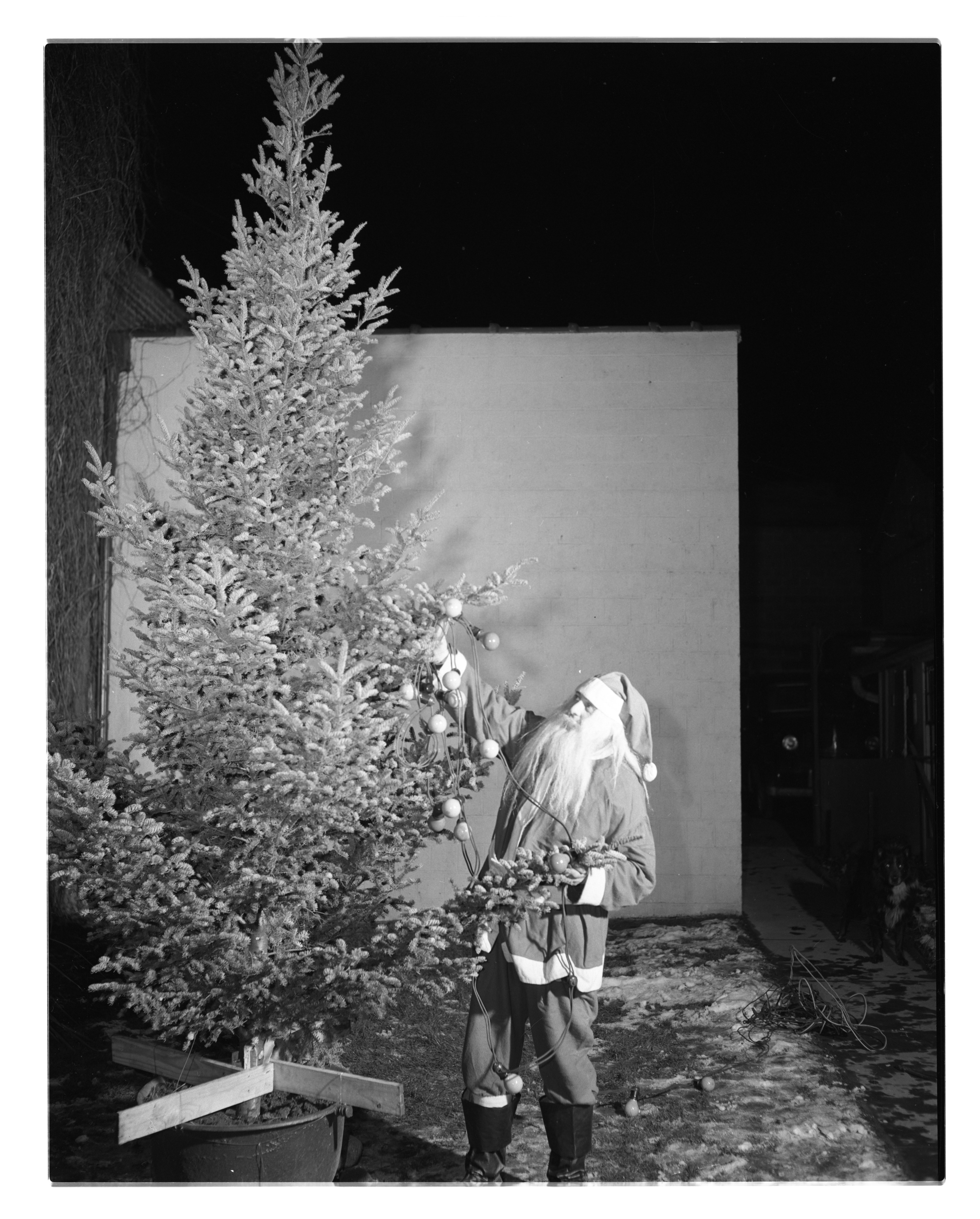 Santa Trims A Tree At Home of Bertha E. Muehlig, December 1948 image