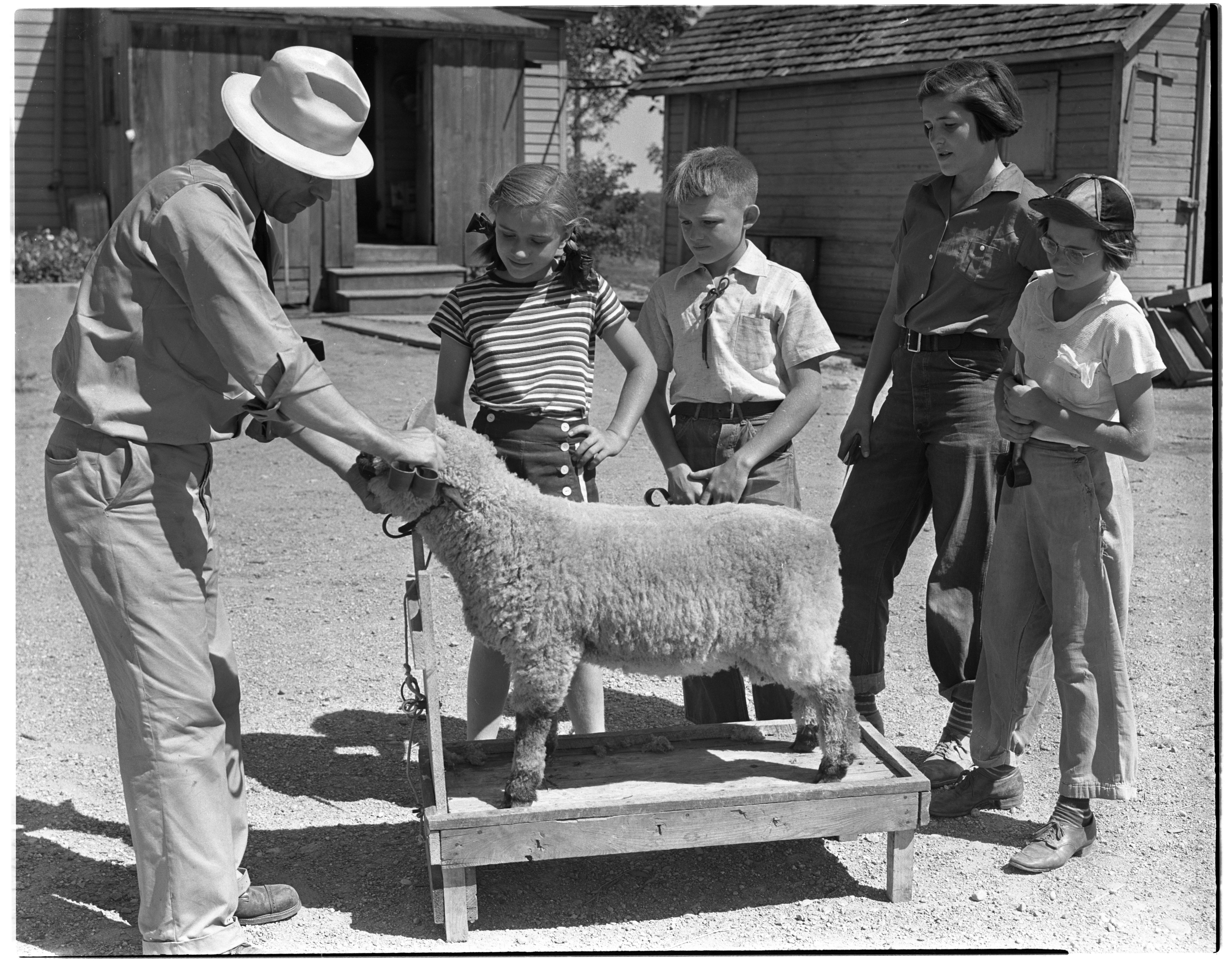 4-H Sheep Shearing Demonstration at Forshee Farm image