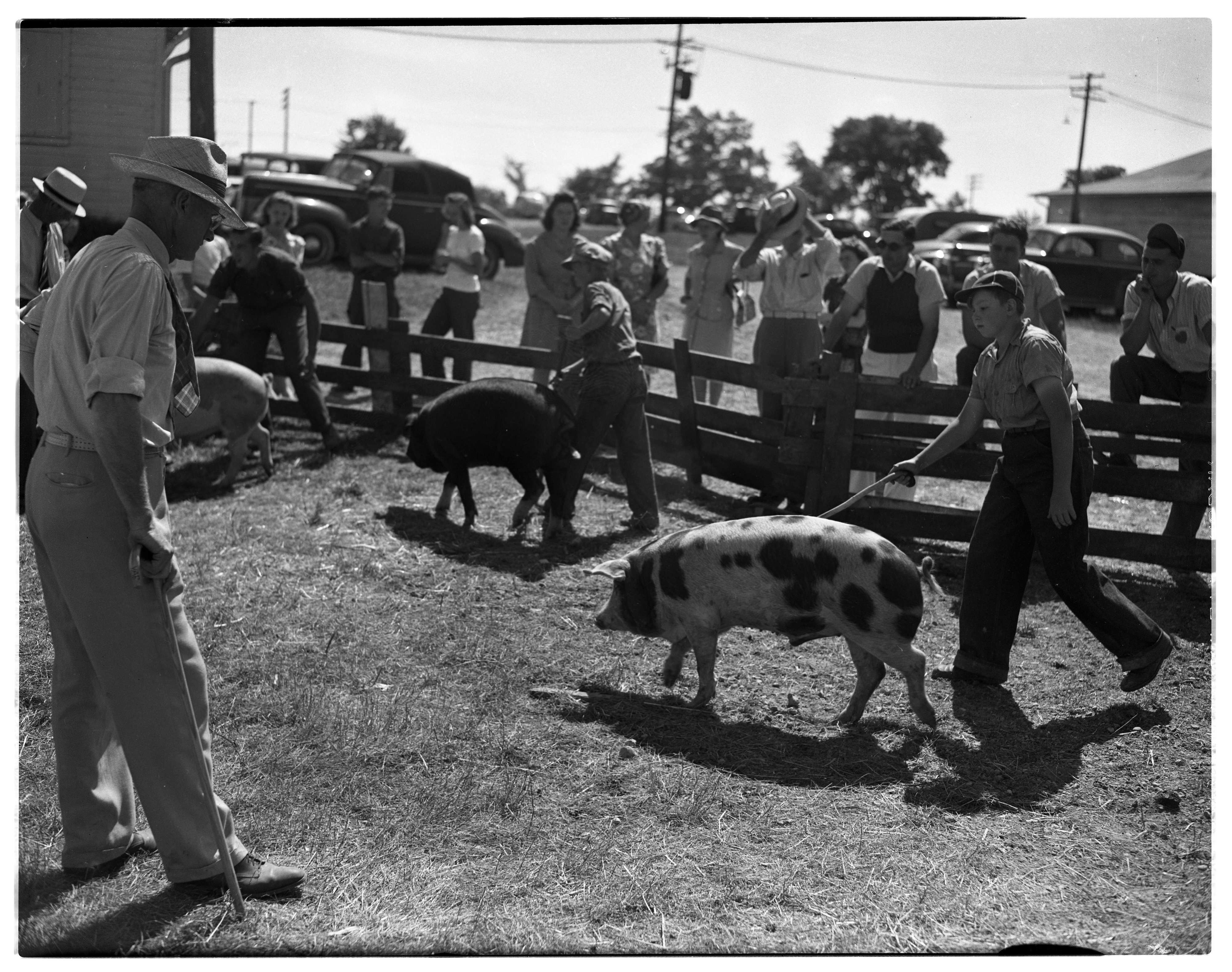 4-H Club Livestock Competition at County Fairgrounds, September 1943 image
