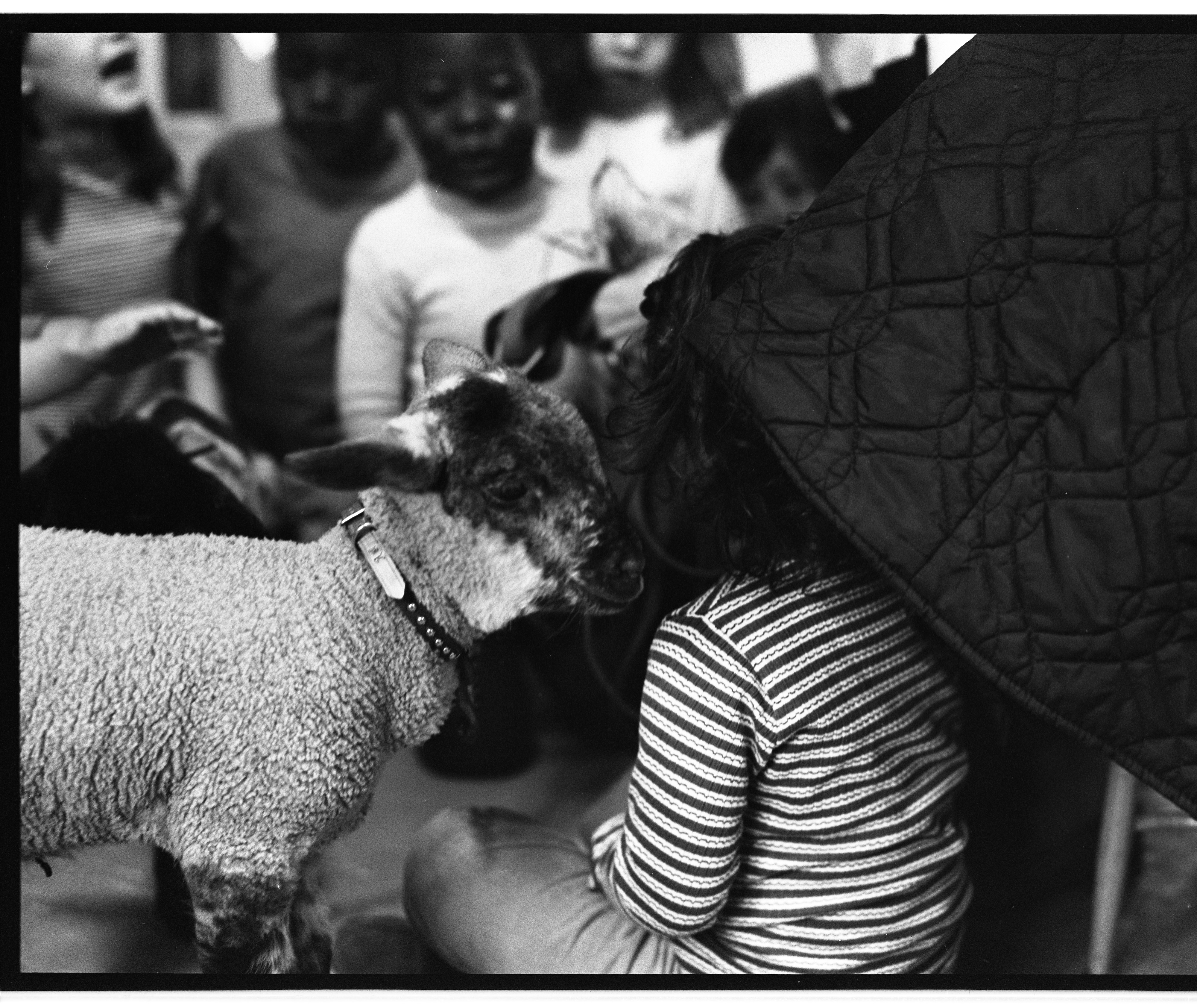 Child Gets A Visit From A Lamb At Perry Nursery School, May 28, 1971 image