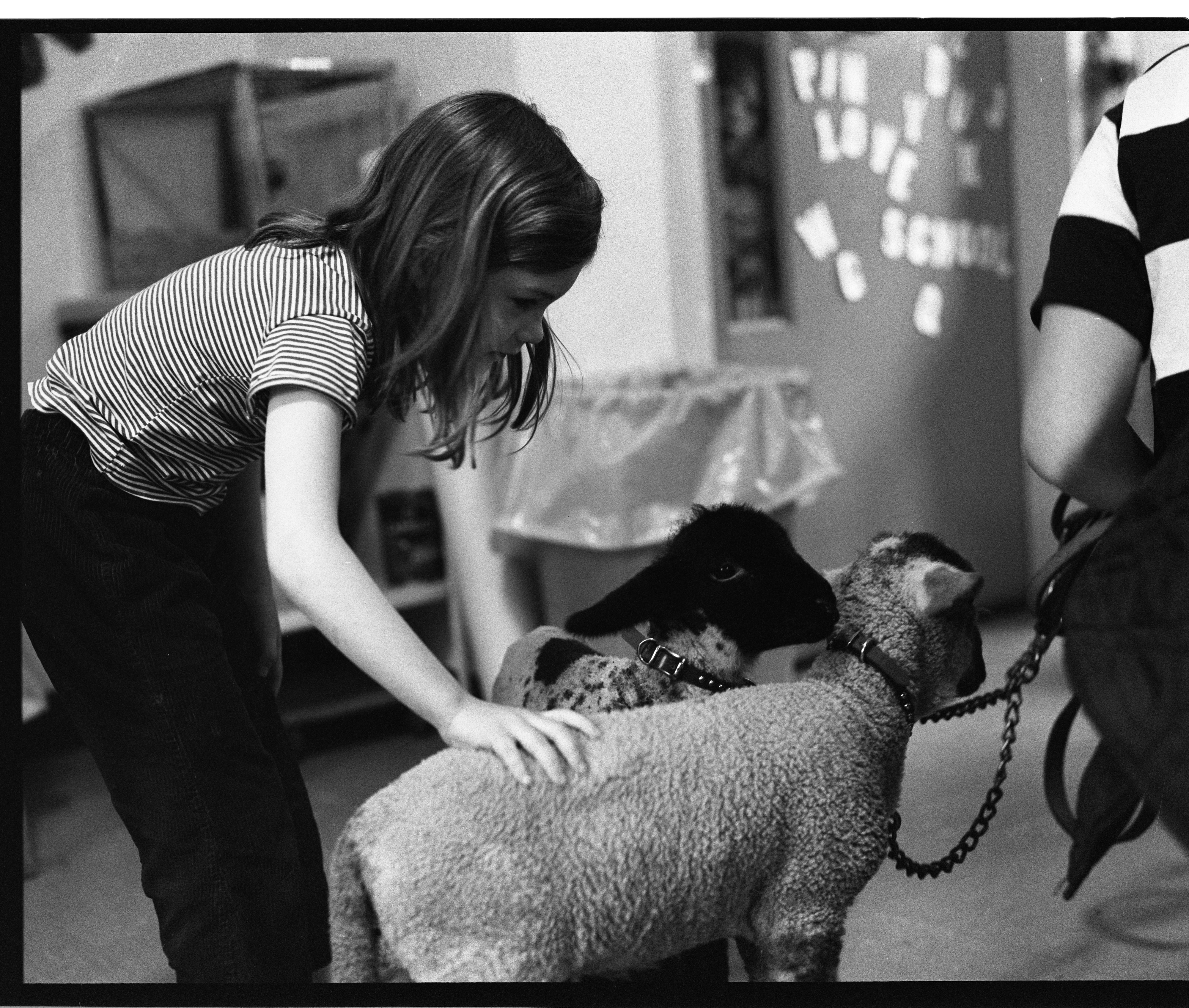 Young Girl Pets Lambs At Perry Nursery School, May 28, 1971 image