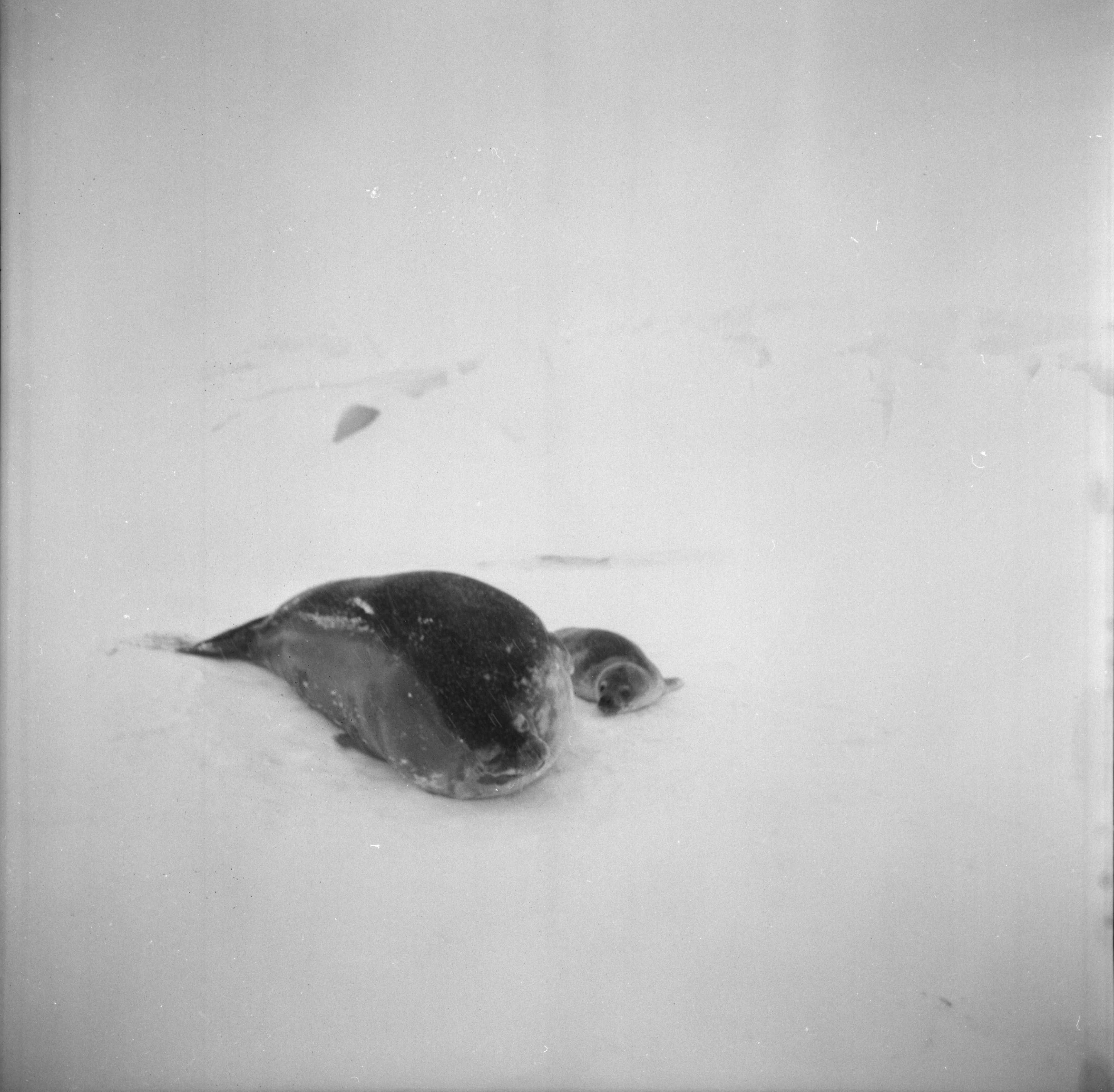 Mother and Baby Seal, U-M Research Trip to Antarctica, November 1962 image