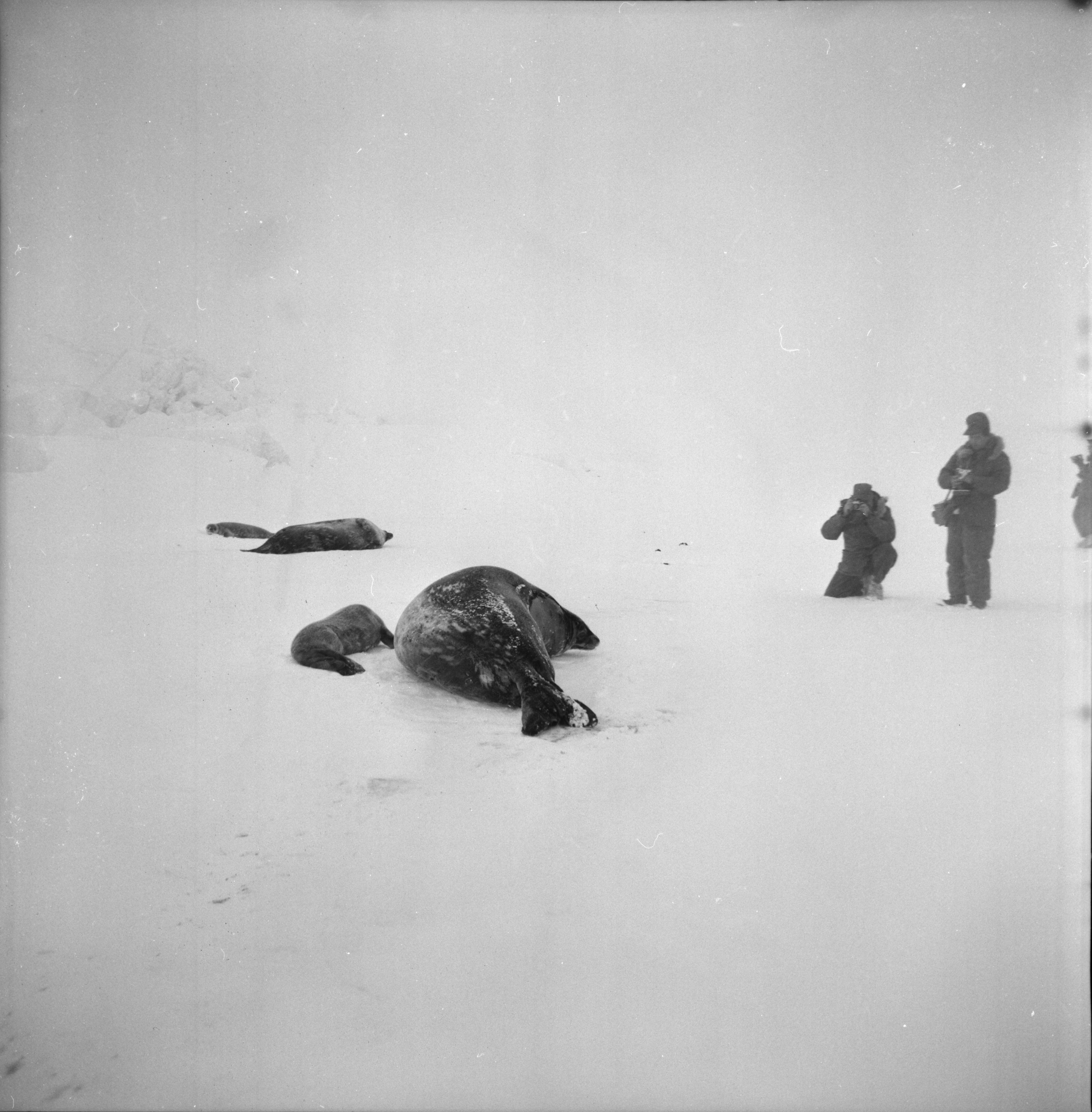 Photographing Seals, U-M Research Trip to Antarctica, November 1962 image