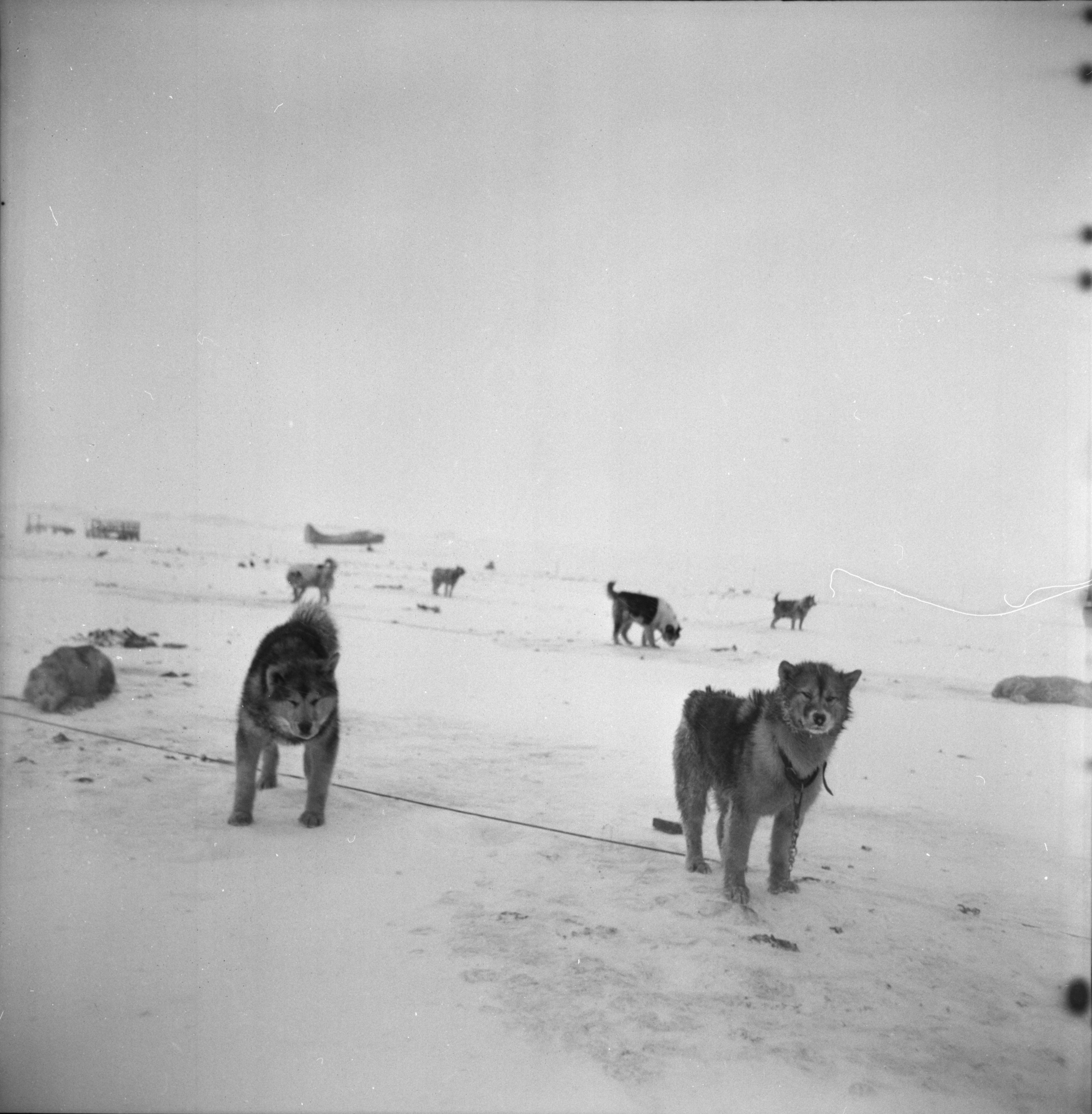 Sled Dogs, U-M Research Trip to Antarctica, November 1962 image