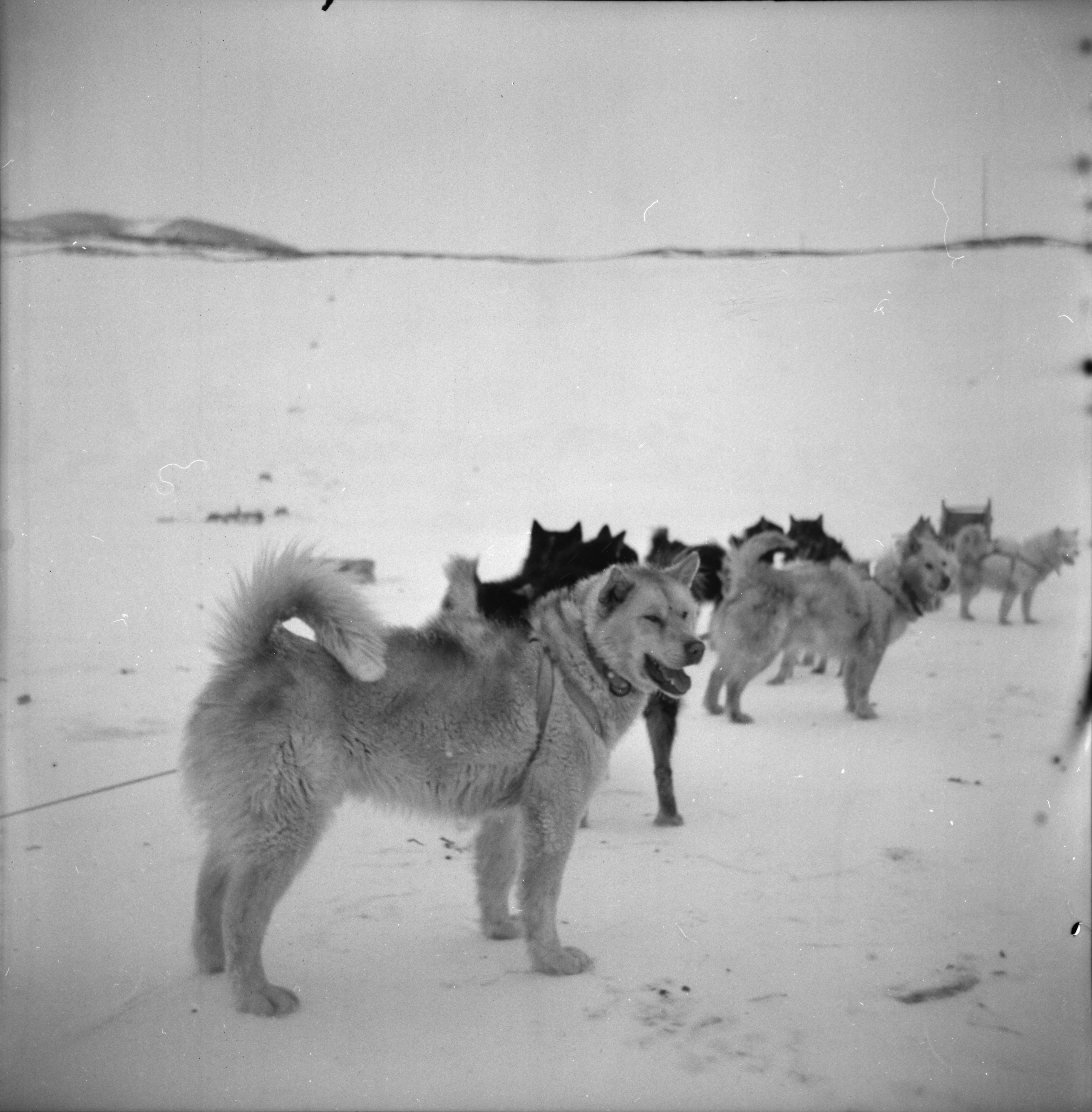 Sled Dogs at New Zealand's Scott Base in Antarctica, November 1962 image