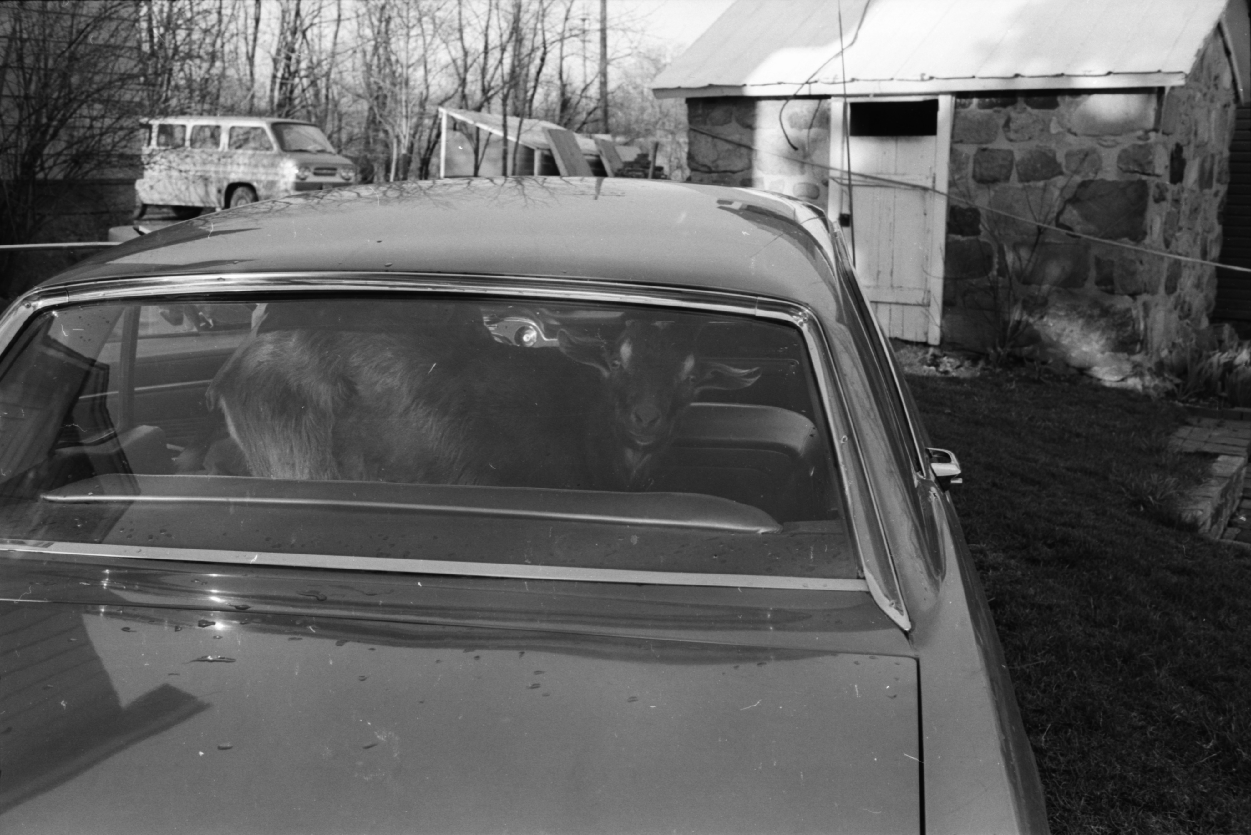 Henry the Goat Rides to Ann Arbor Civic Theatre Production of 'Rose Tattoo,' April 1969 image