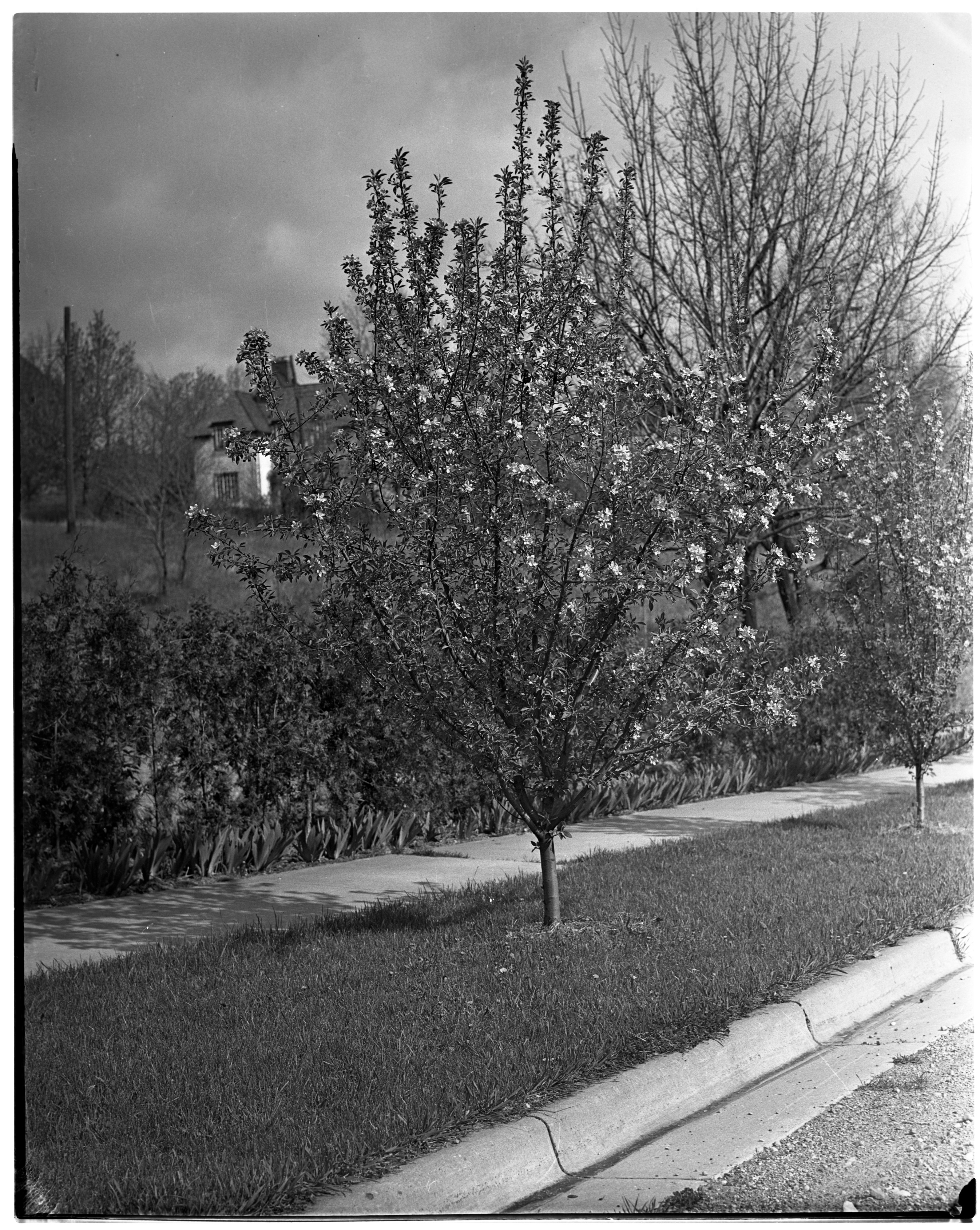 Flowering Crab Trees On Awixa Rd Ann Arbor District Library