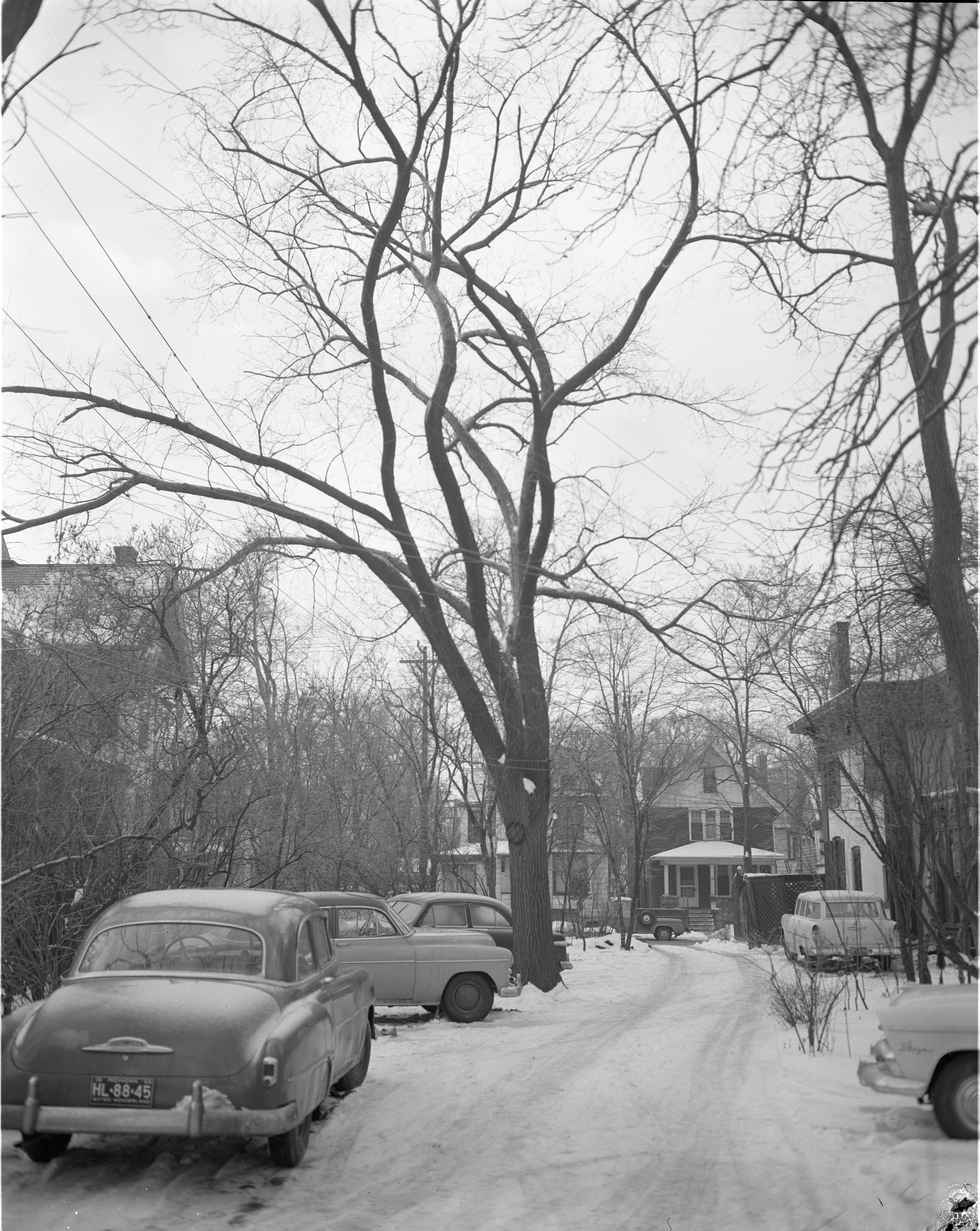 Scion Of George Washington's Elm Tree On Beal Property, February 1956 image