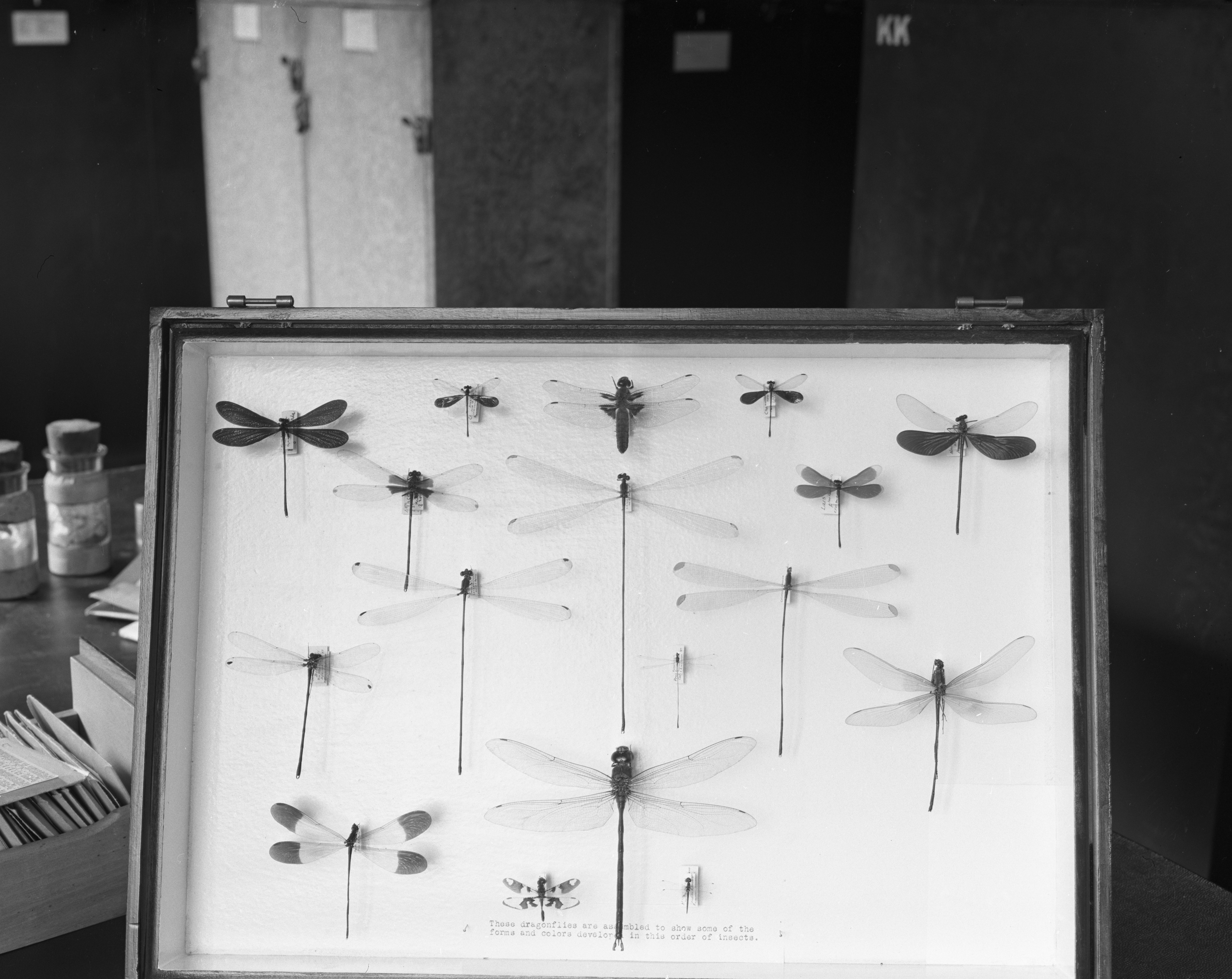 Dragonflies at University of Michigan Museum, September 1947 image