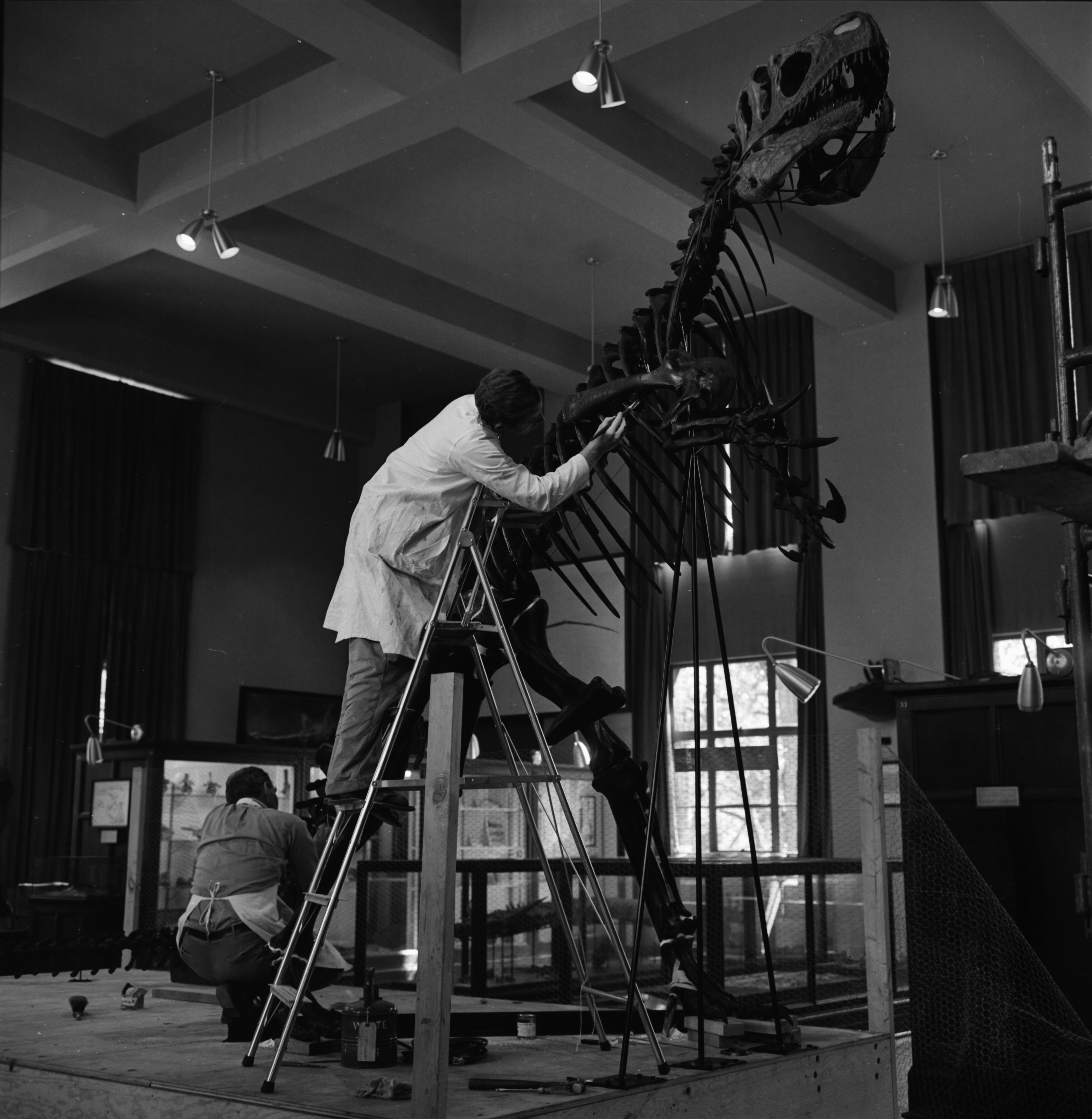 Dinosaur Exhibit Readied at University of Michigan Museum, June 1965 image