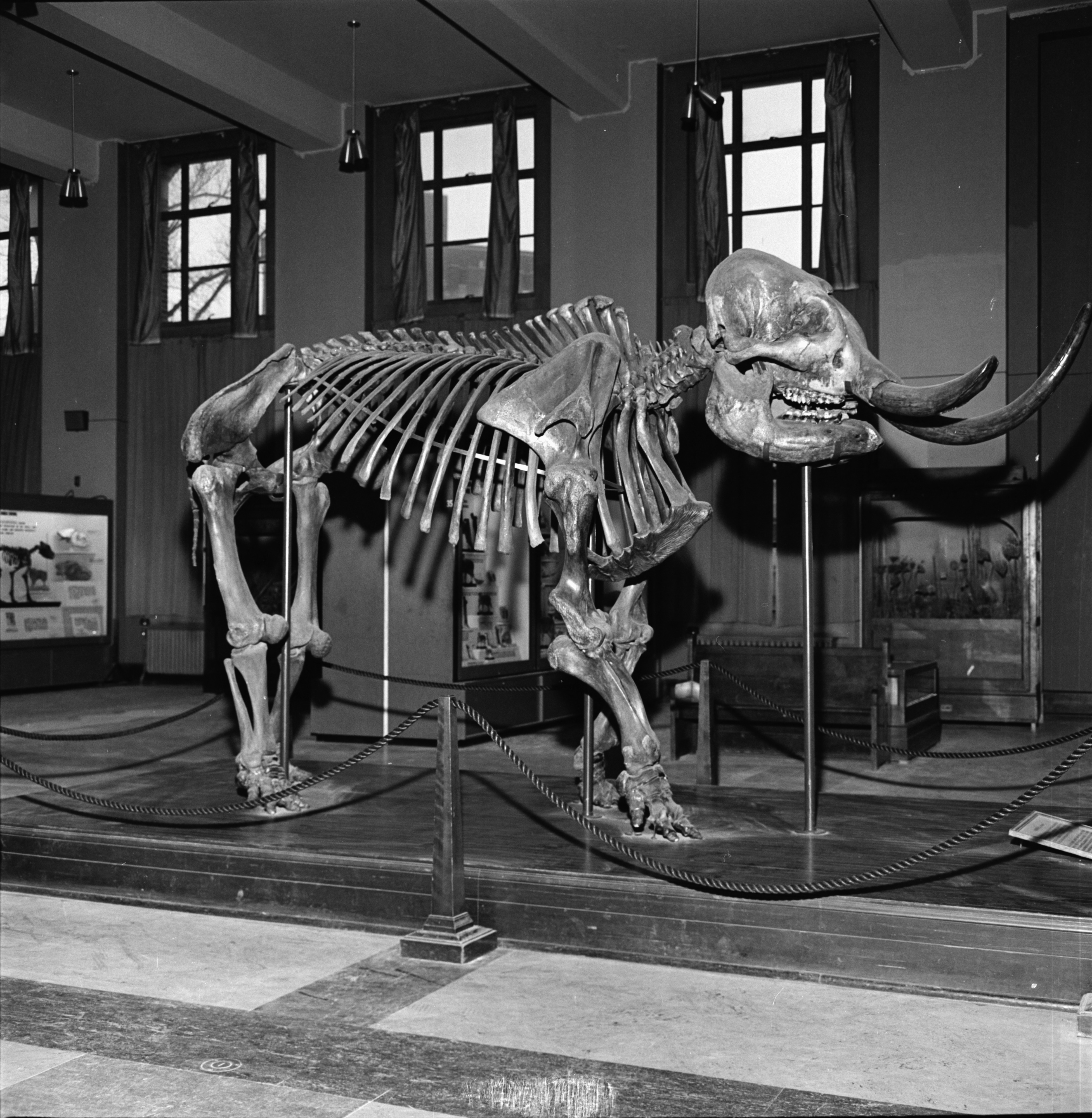 Mastodon at University of Michigan Museum, December 1969 image