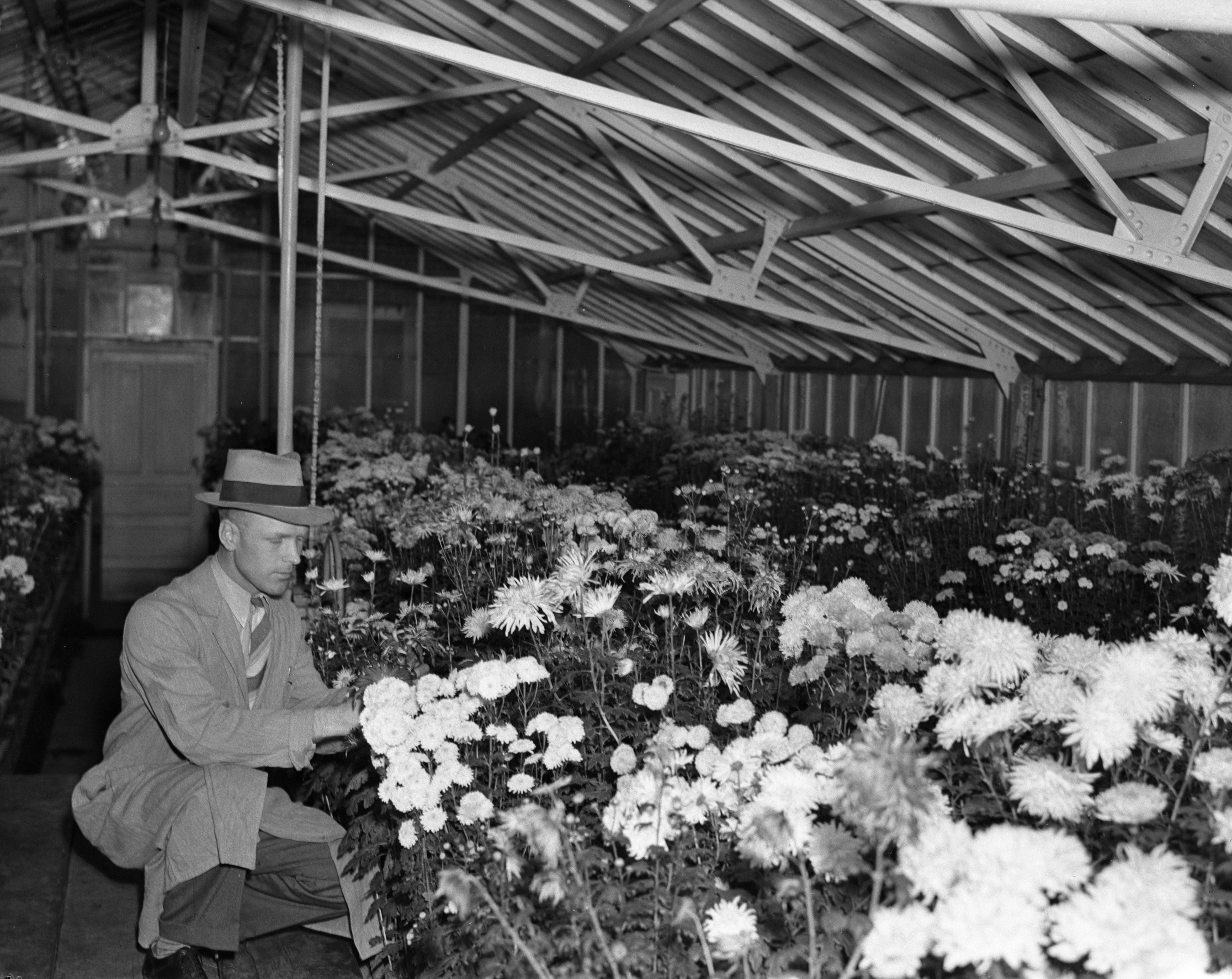 Mums at the University of Michigan Botanical Gardens, November 8, 1937 image