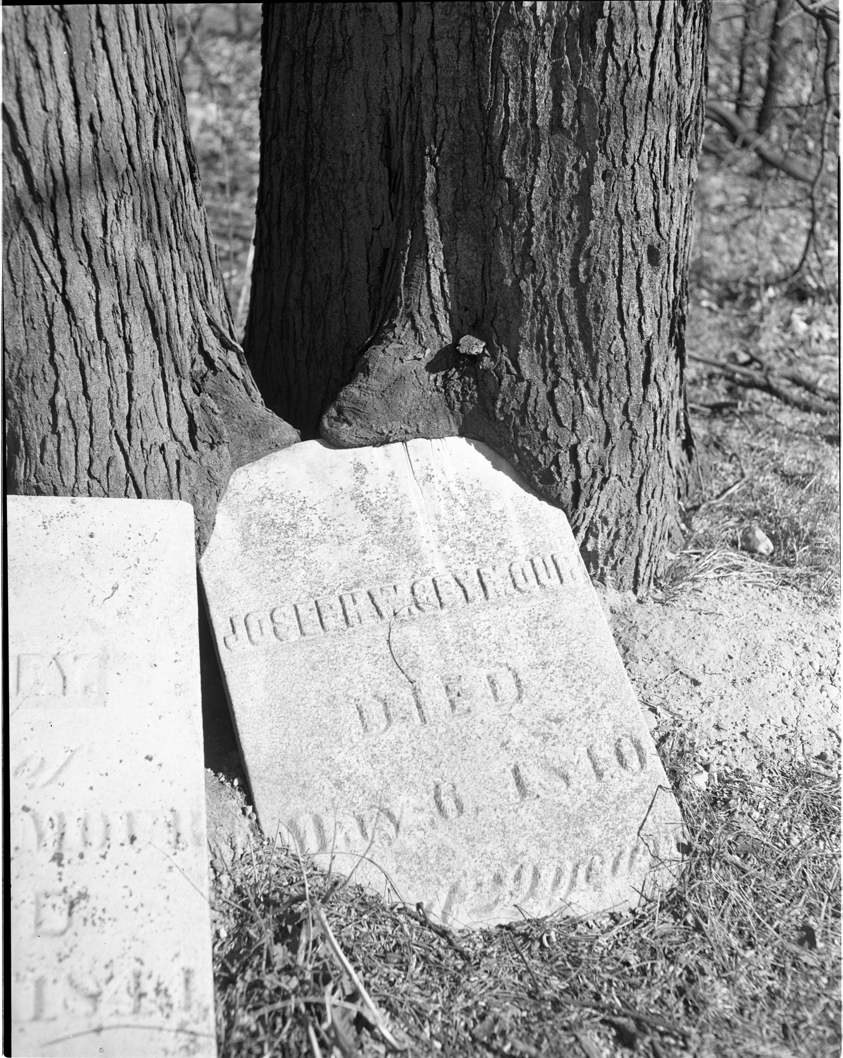 A Thorn Tree Grows Around Joseph Seymour's Headstone In The Scio Cemetery, April 1949 image