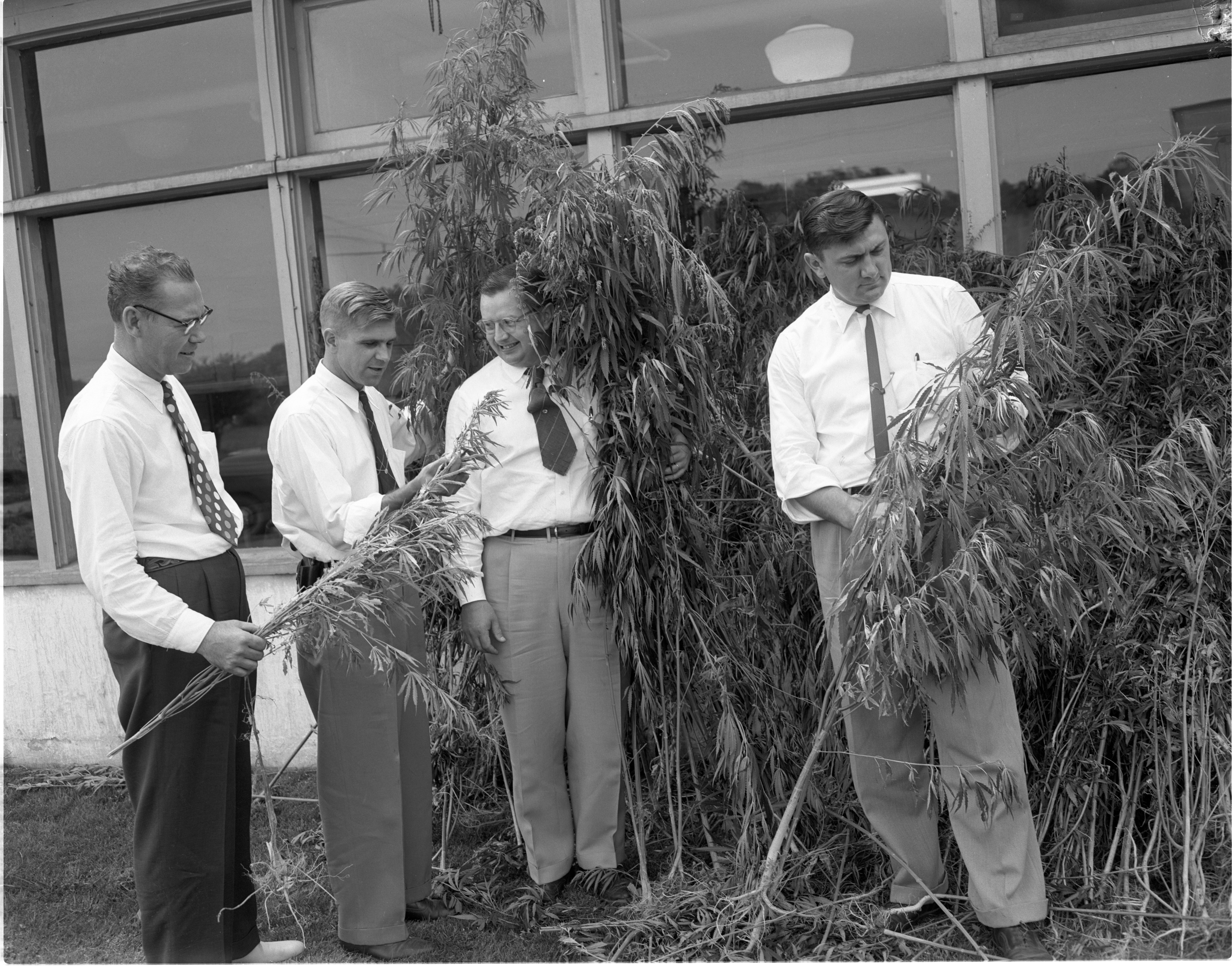 Washtenaw County Vice Squad Officers With Confiscated Marijuana Plants, July 1954 image