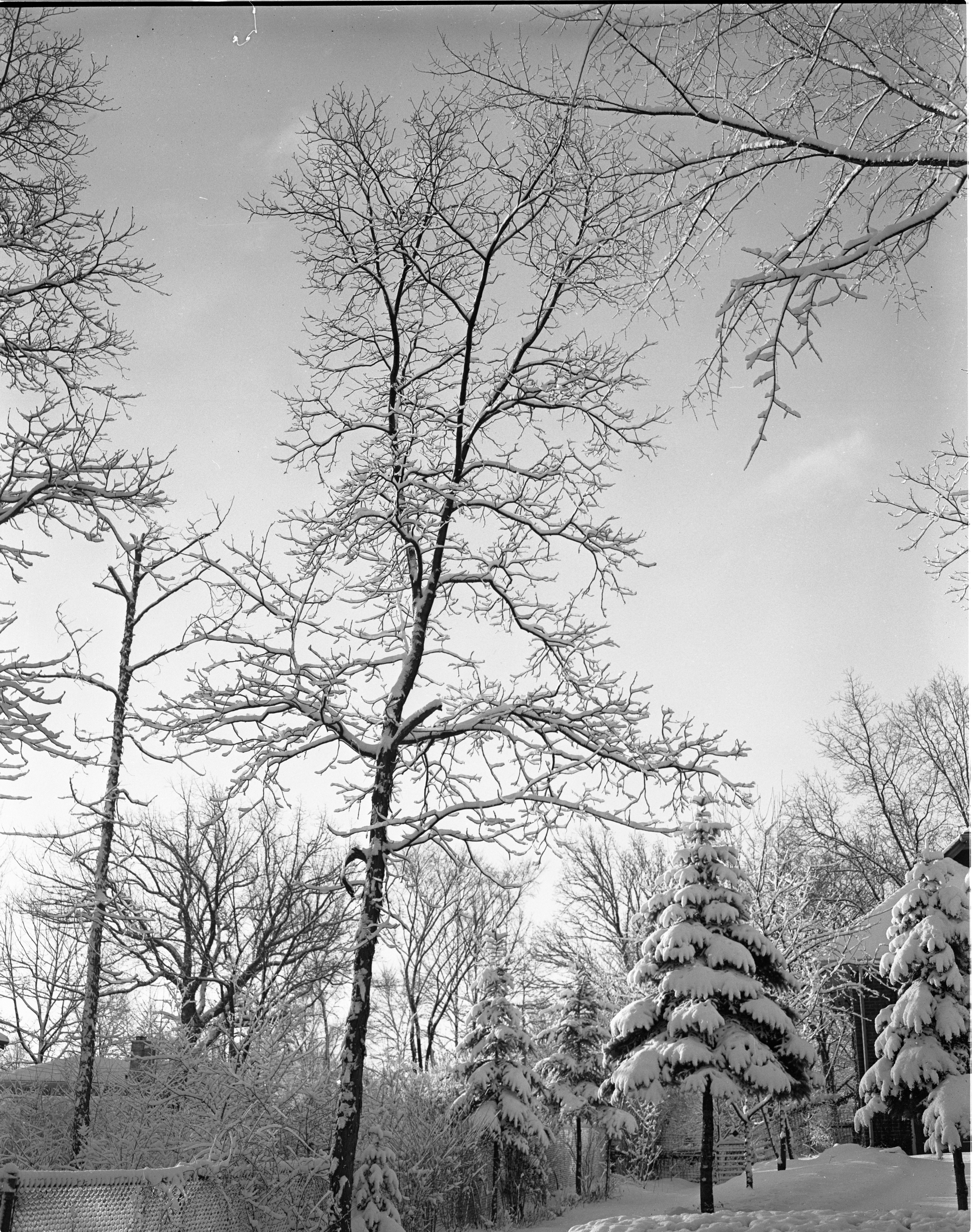 Trees Covered In Fresh Snow On Berkshire Road, February 1957 image
