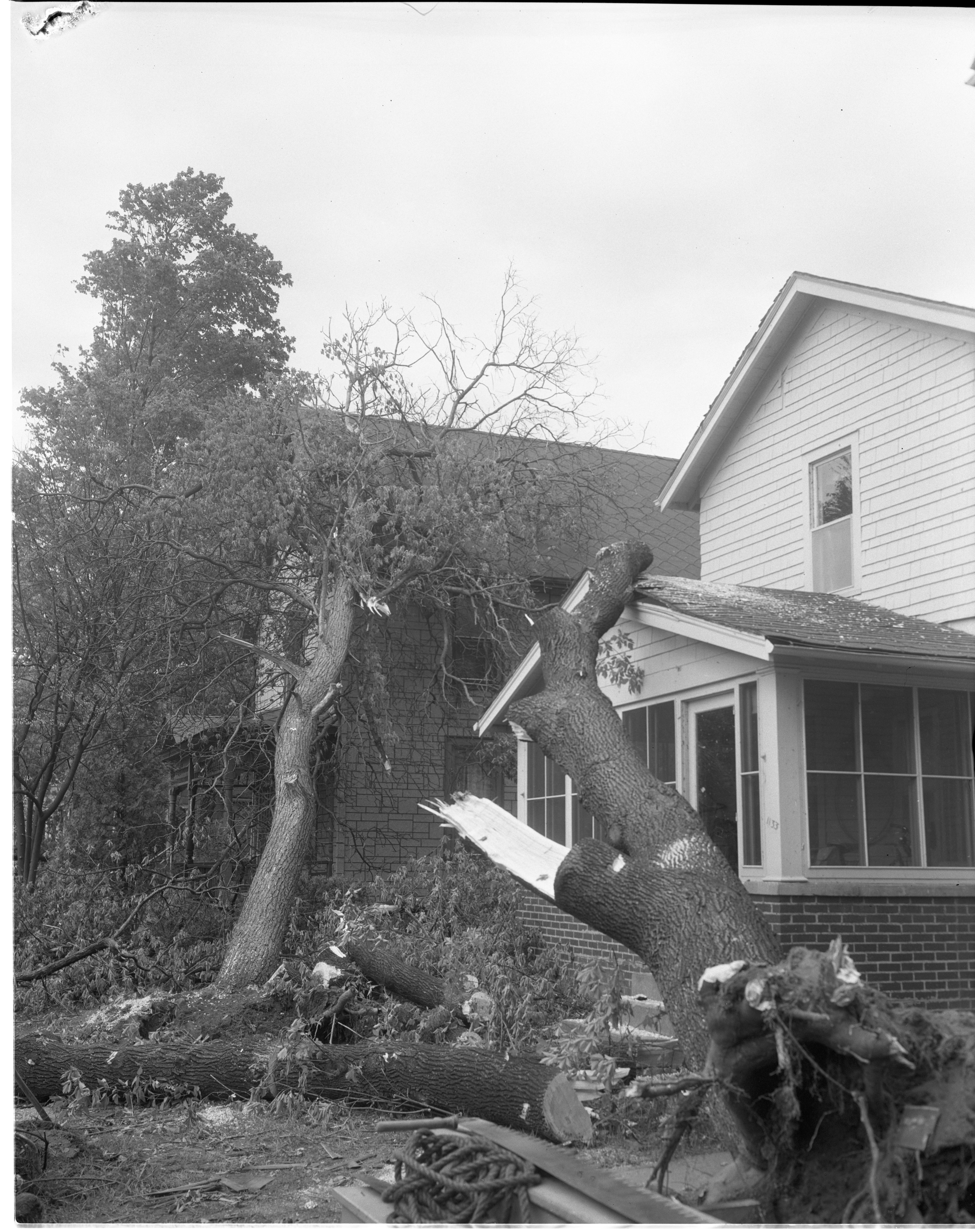 Remains Of Trees Destroyed By The Windstorm, May 1959 image