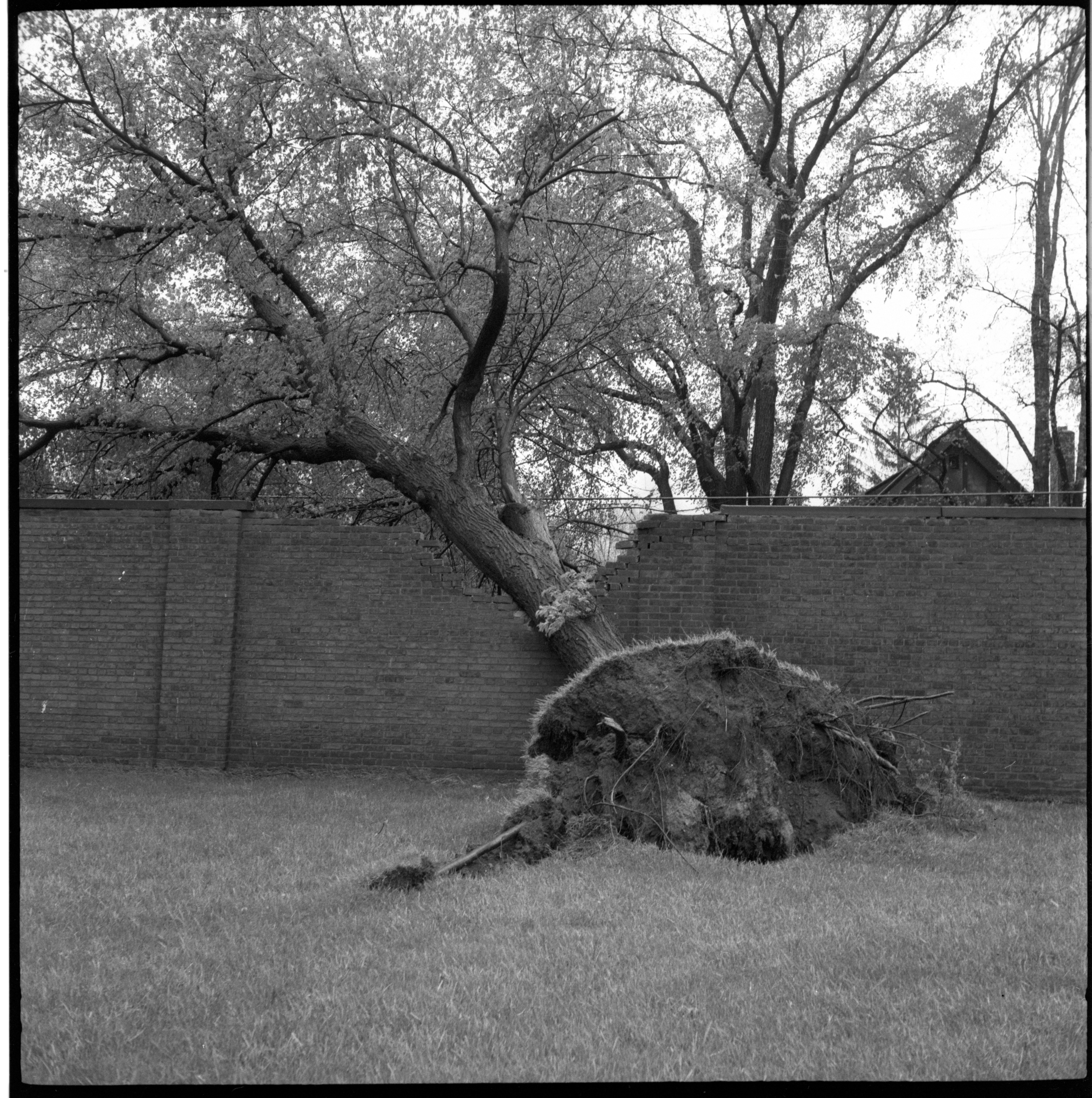 Ferry Field Fence Damaged By A Fallen Tree During The Windstorm, May 1959 image