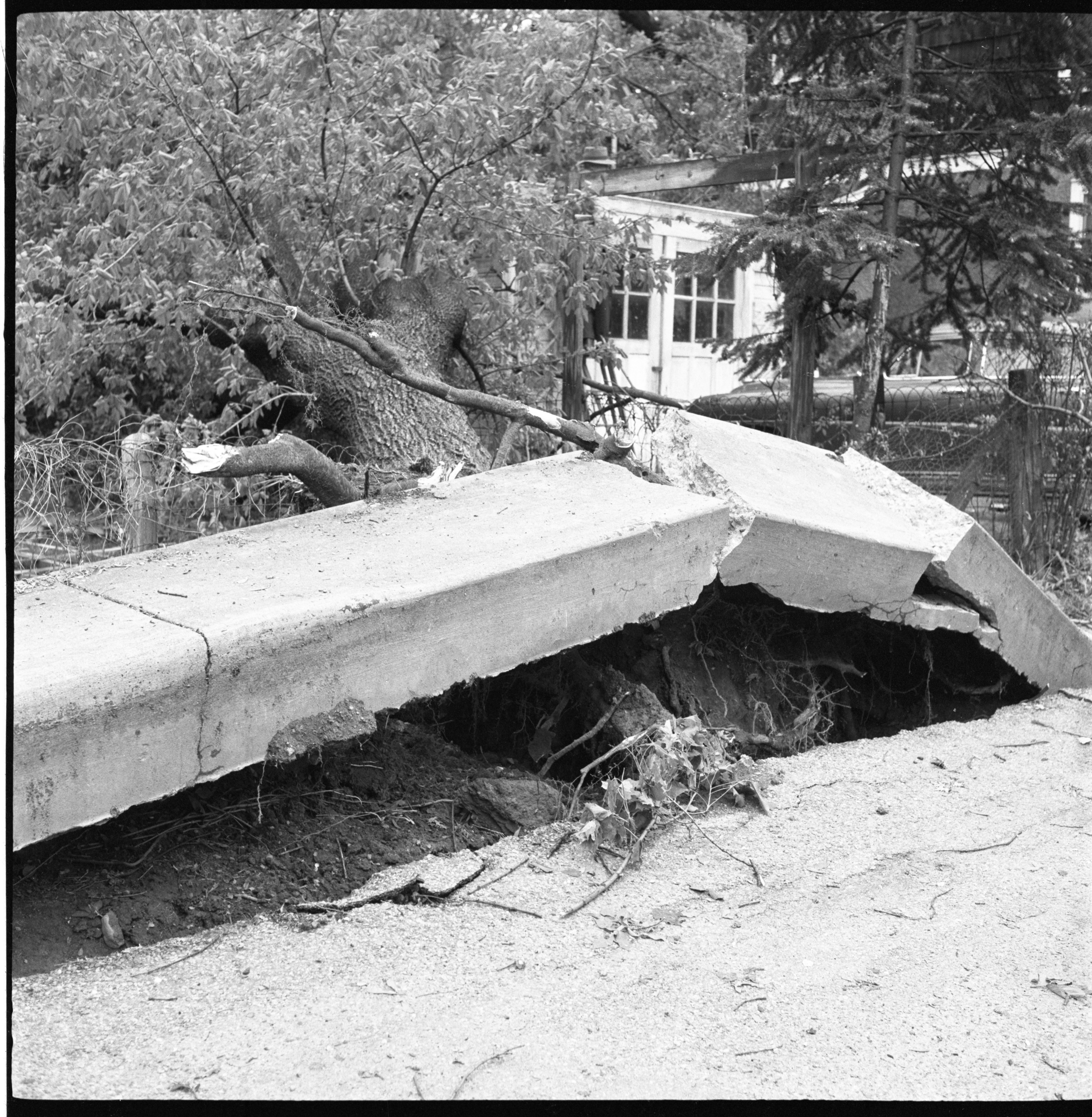 Remains Of An Uprooted Tree & Sidewalk Destroyed By The Windstorm, May 1959 image