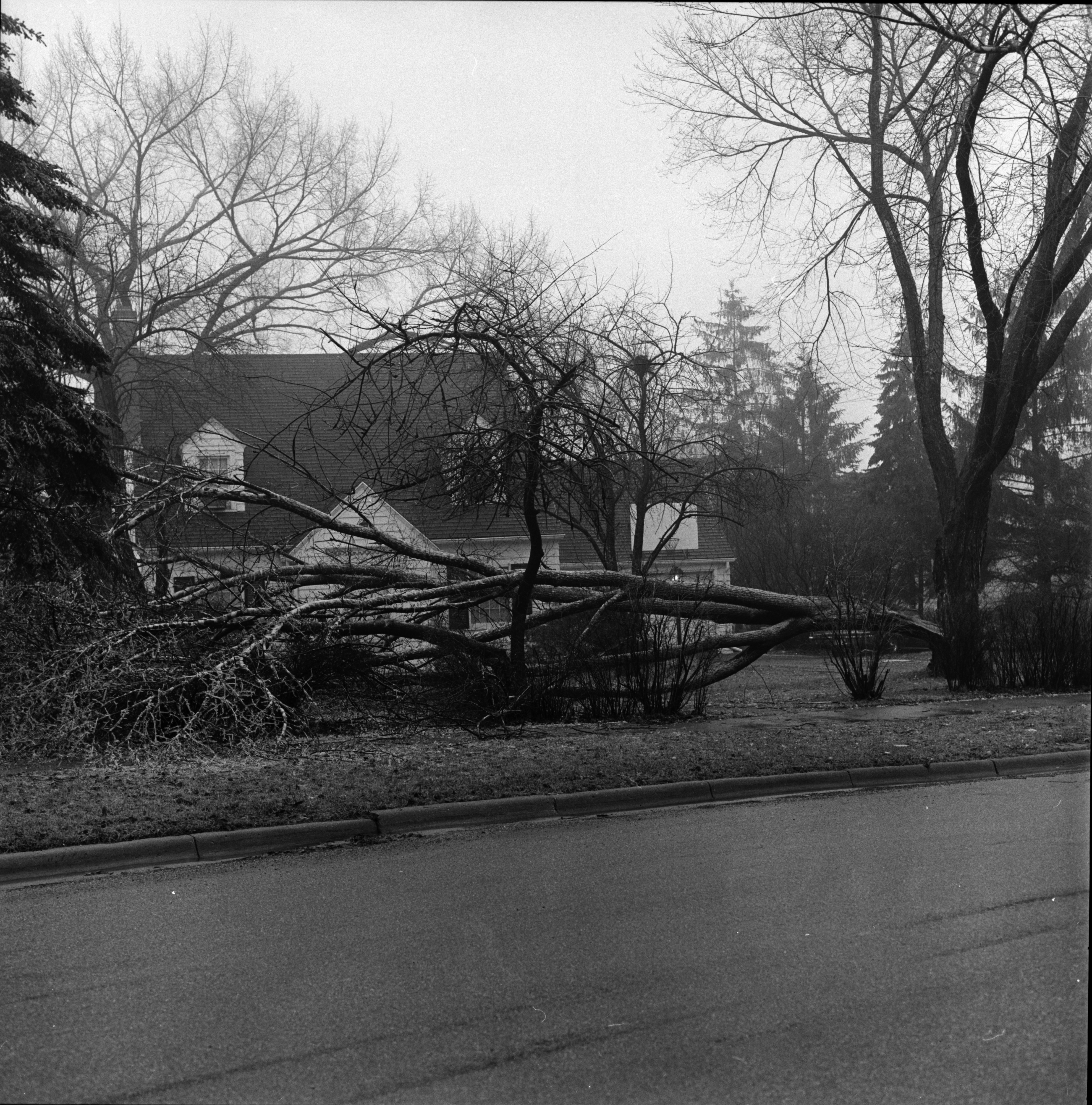 Tree Down on Brockman Blvd., March 1972 image