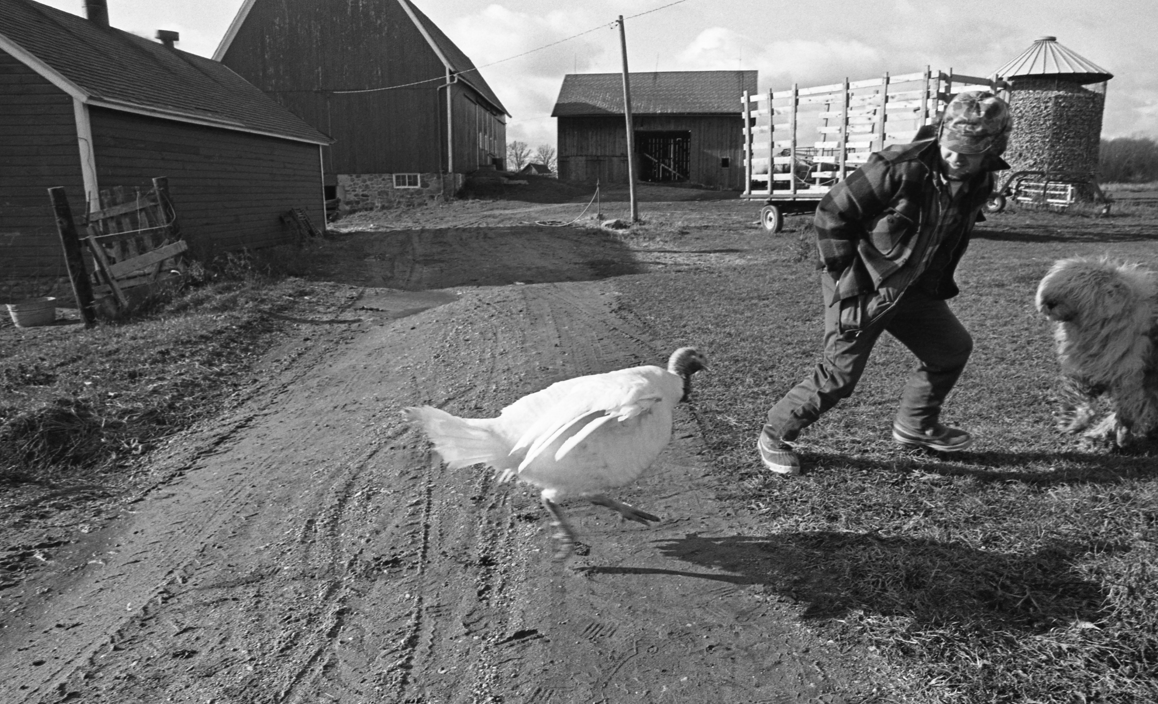 Tom The Turkey Chases A Visitor On The Strieter Farm, November 1974 image