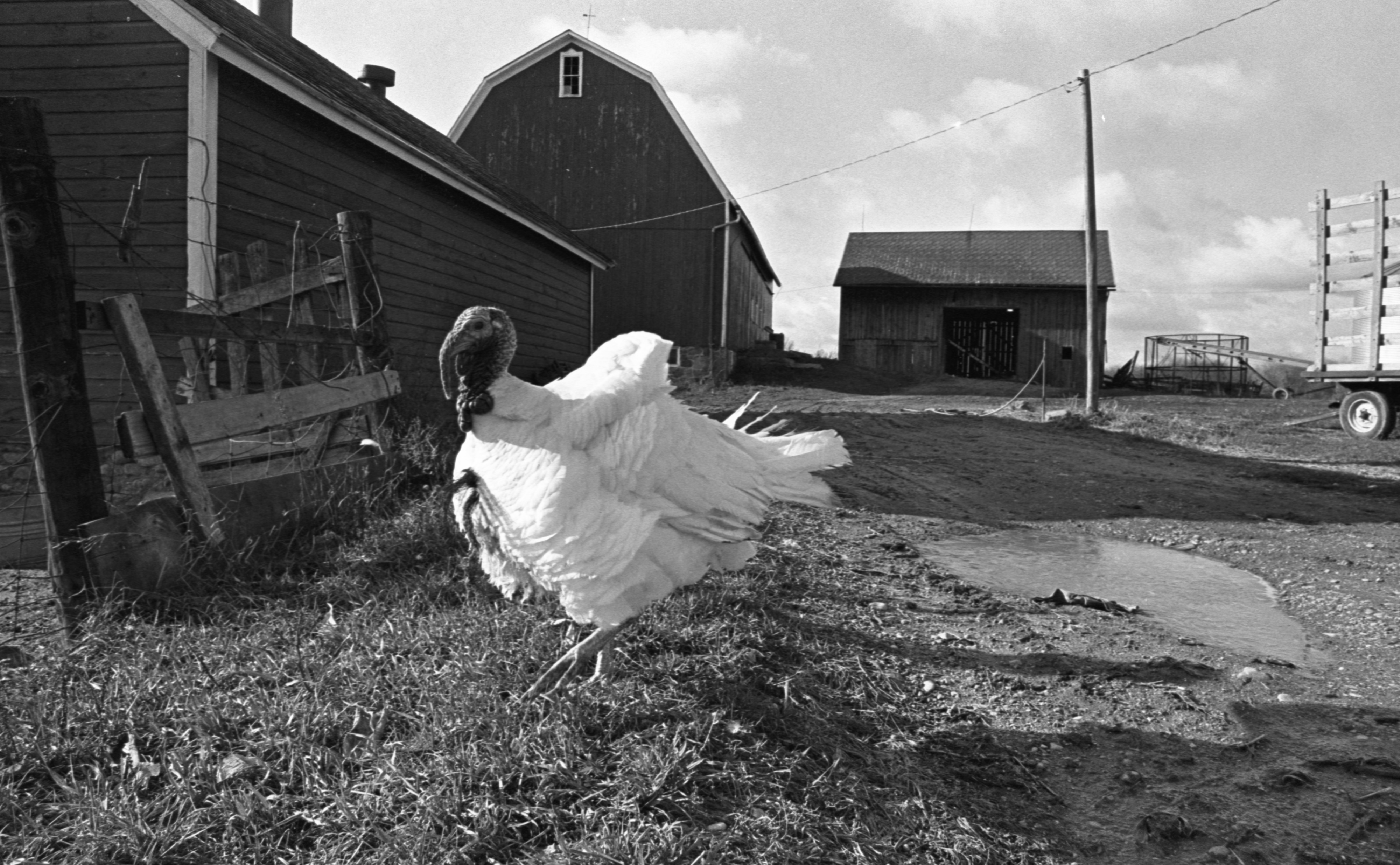 Tom The Turkey Strolls The Strieter Farm, November 1974 image