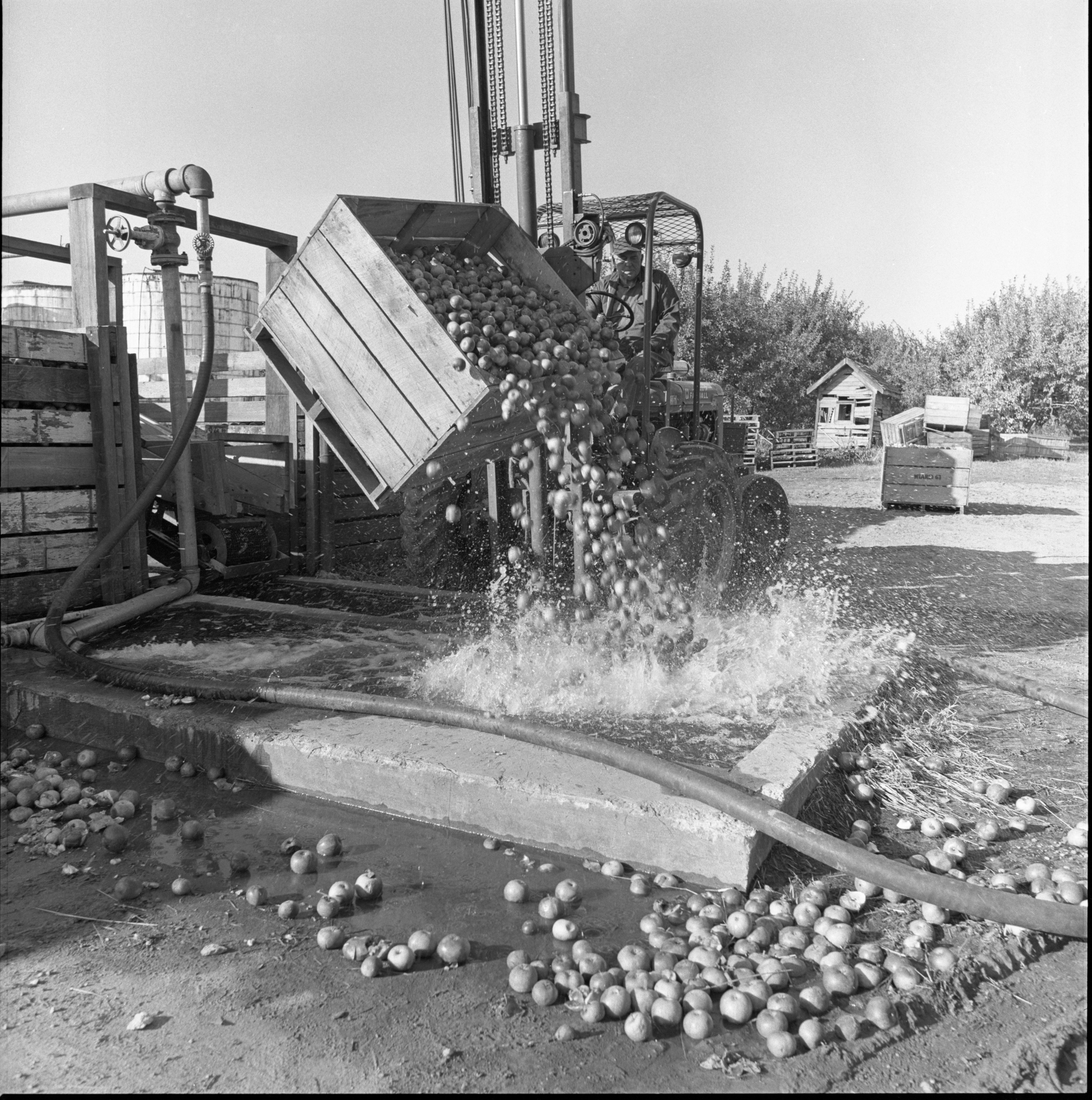 Apples Destined To Become Vinegar Are Dumped Into A Trough For Cleaning At Wiard's Orchards, October 1974 image