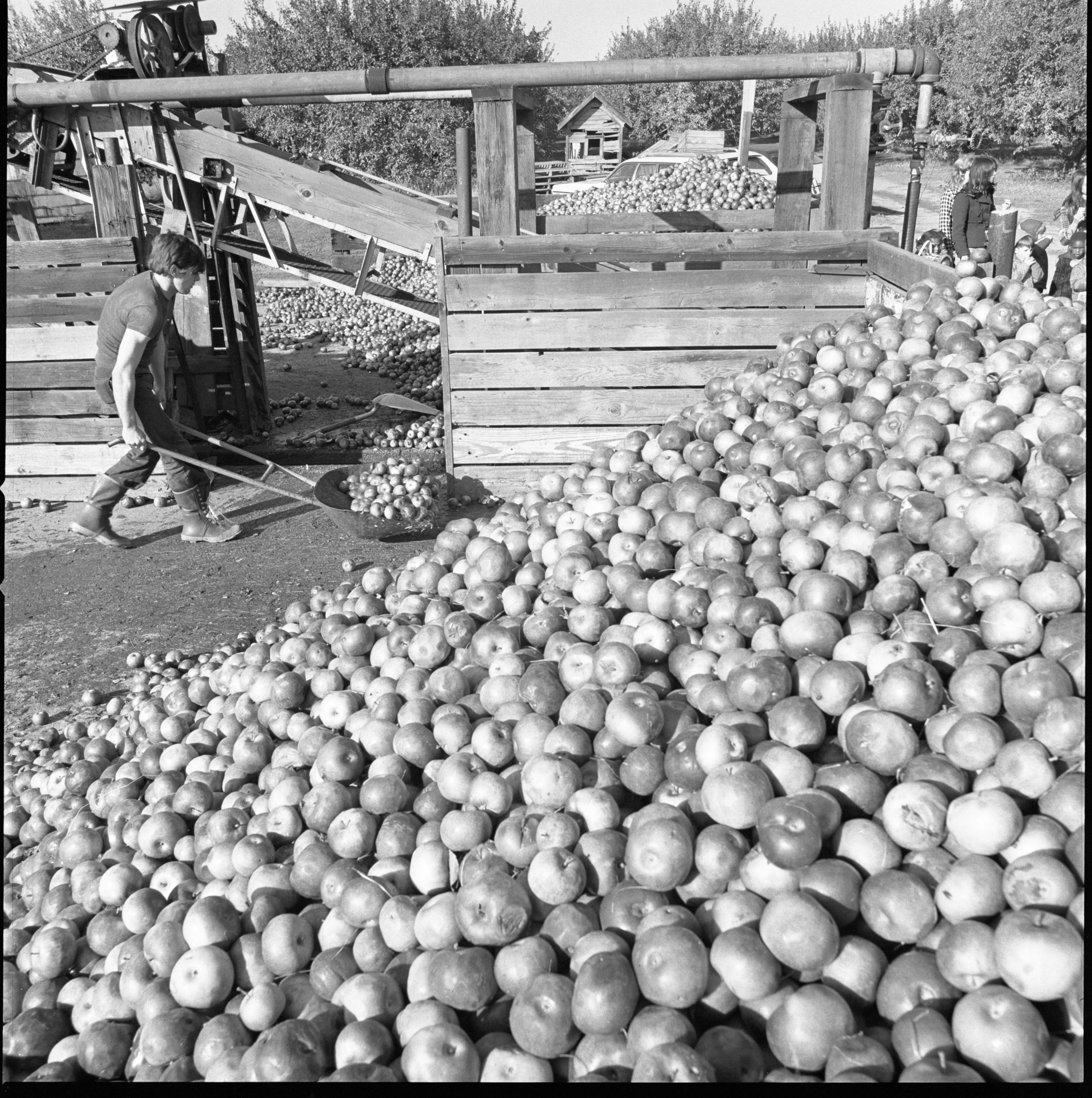 Apples Destined To Become Vinegar Are Shoveled Into Large Containers At Wiard's Orchards, October 1974 image