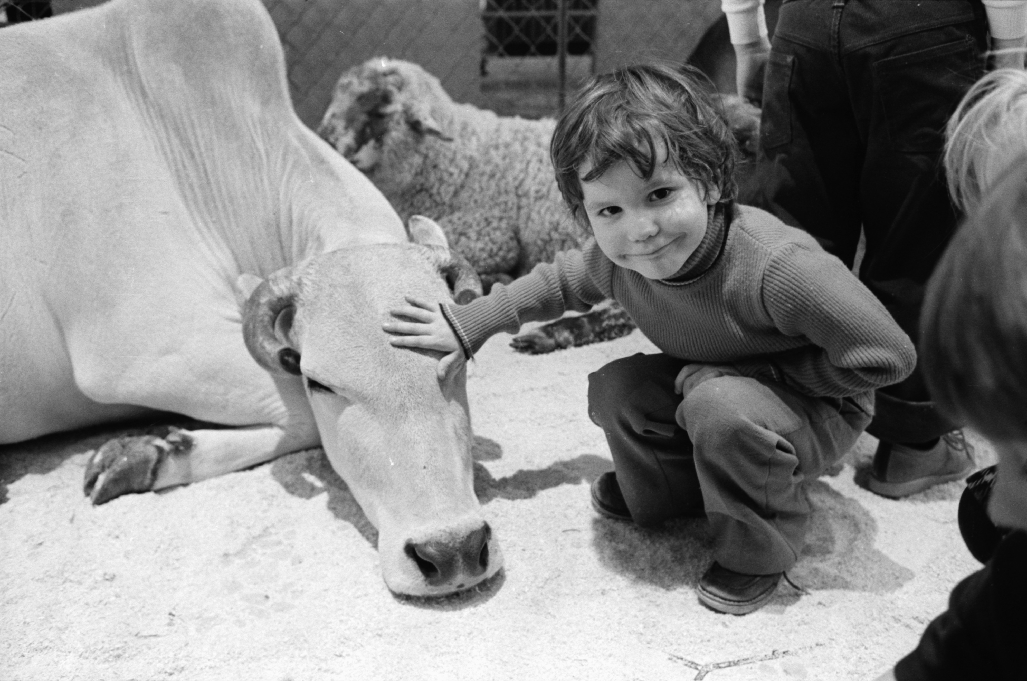 Matt Newman Pets a Cow at Jetts Petting Zoo at the Briarwood Mall, March 1976 image