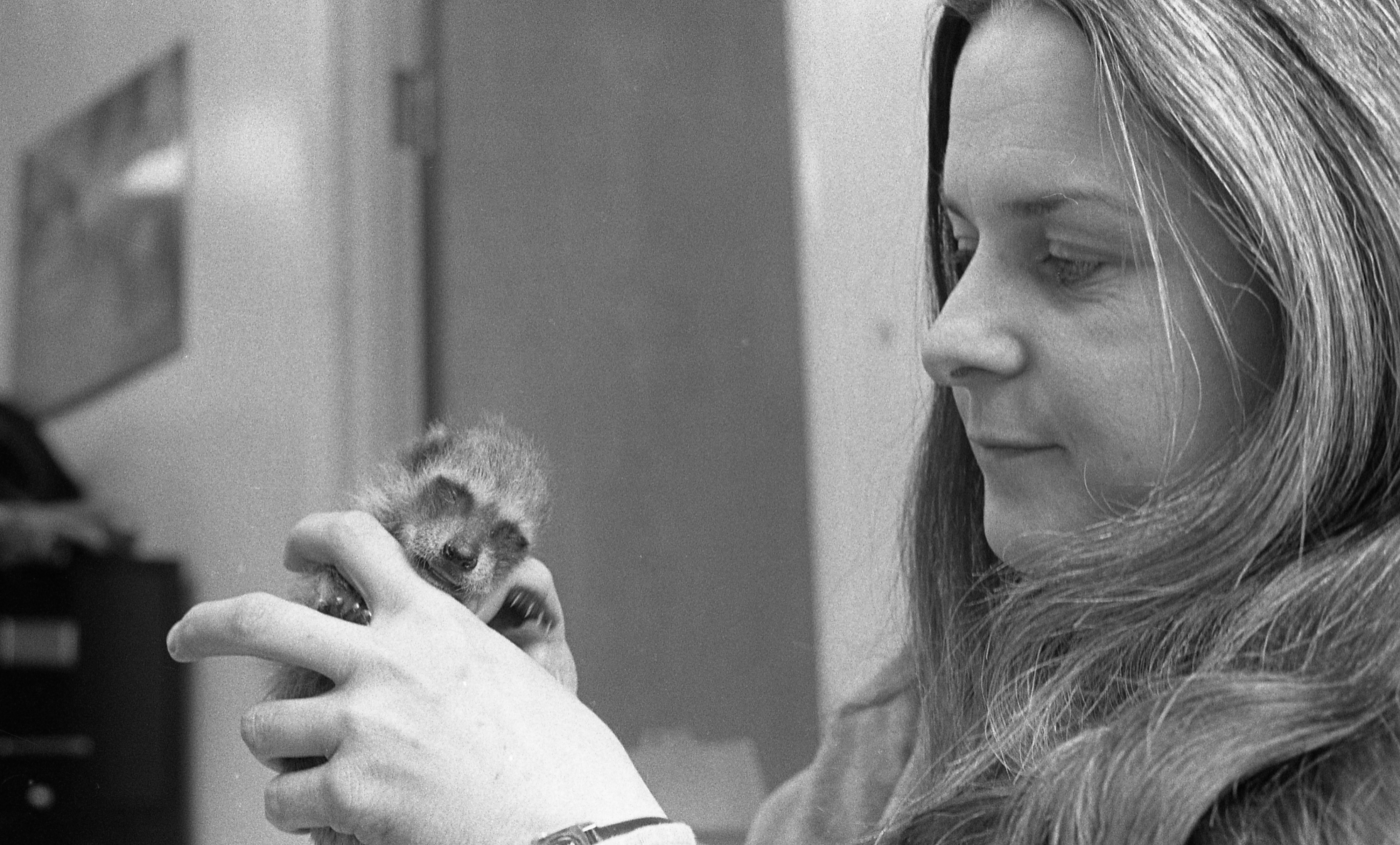 Kathleen Flood, Executive Director Of The Humane Society, Holds Baby Raccoon, May 1976 image