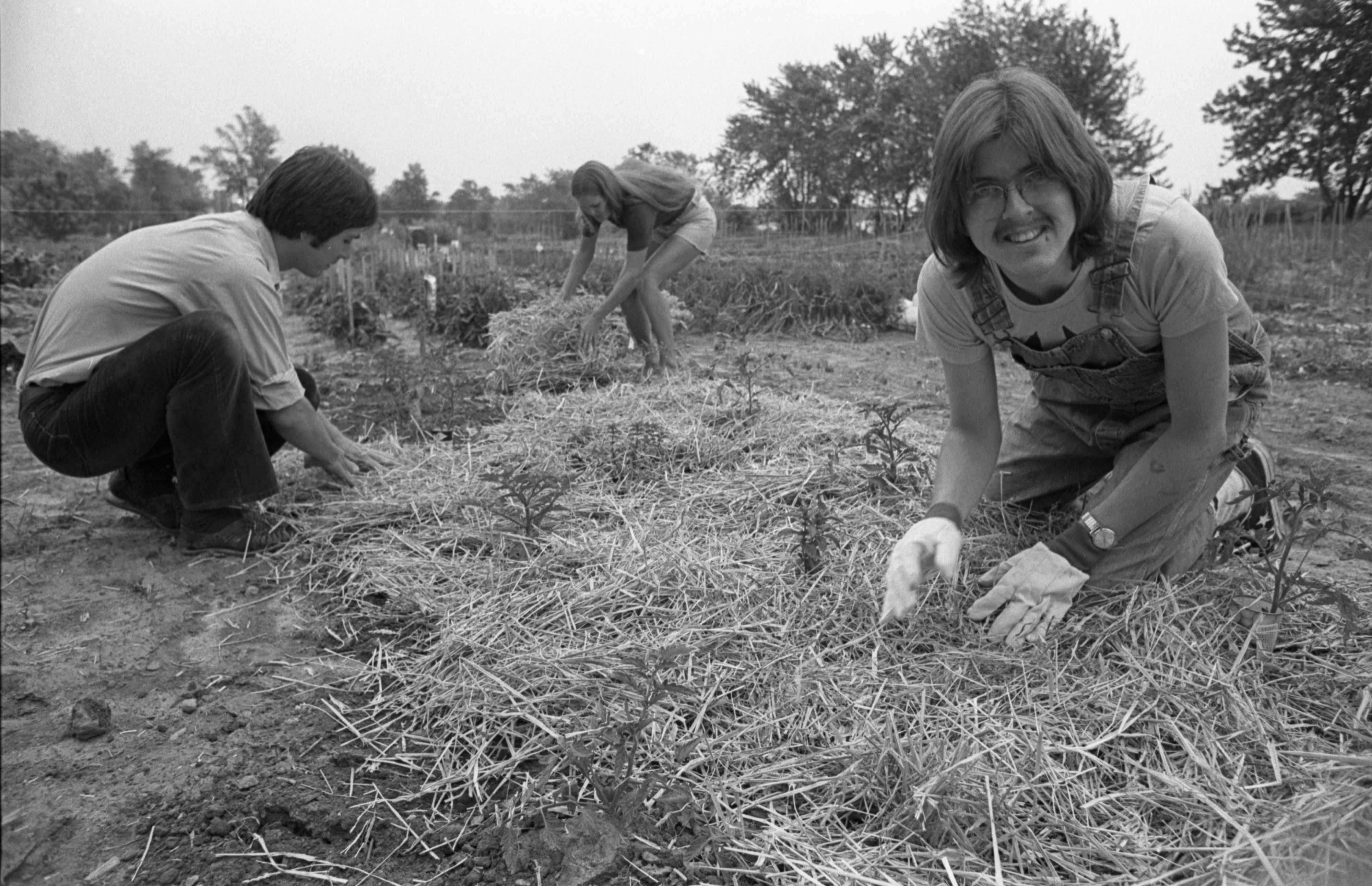 Laying Down Hay On The Crops At Community Farm, June 1977 image