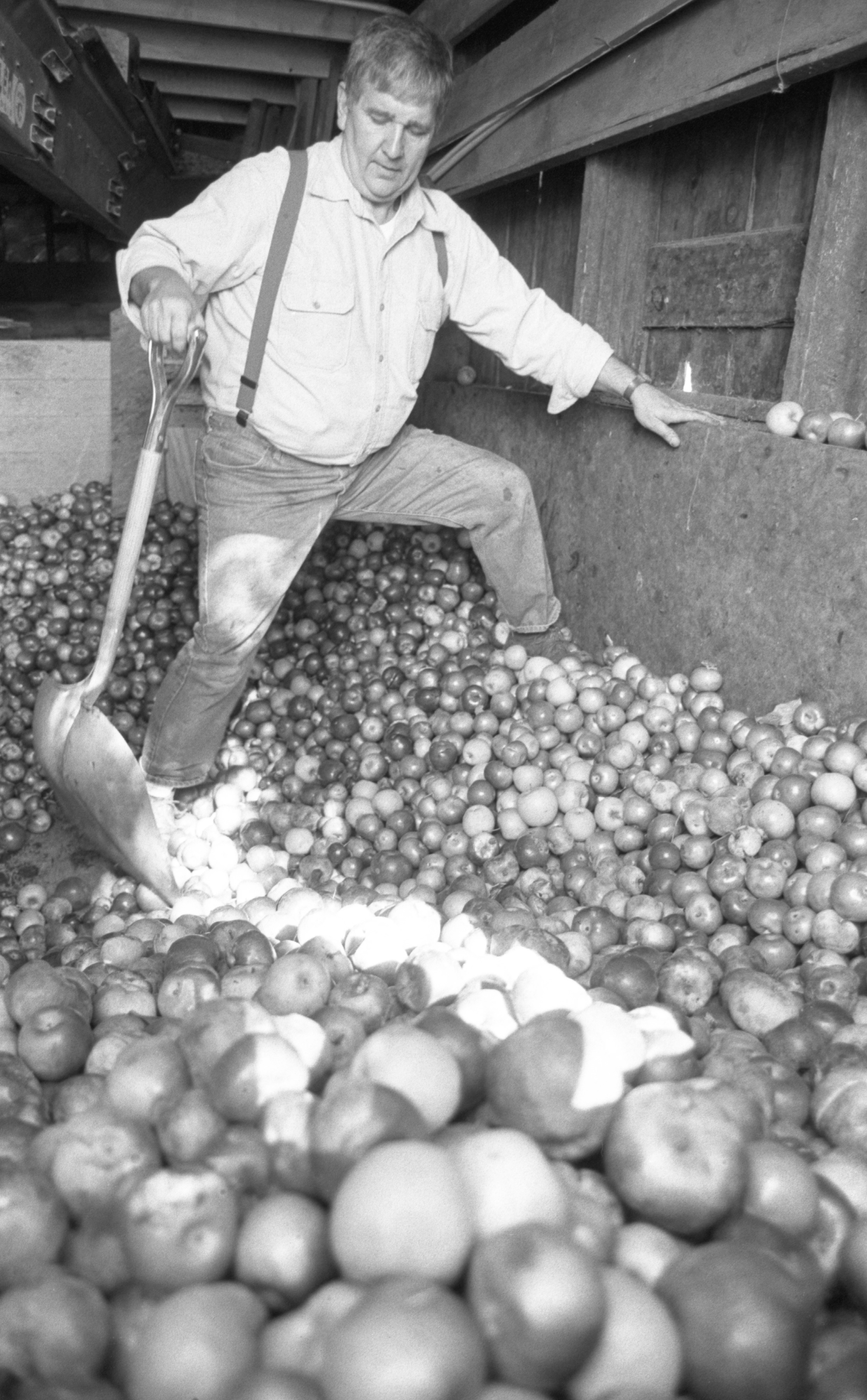 Richard Koziski Prepares Apples For Pressing - Dexter Cider Mill, October 1988 image