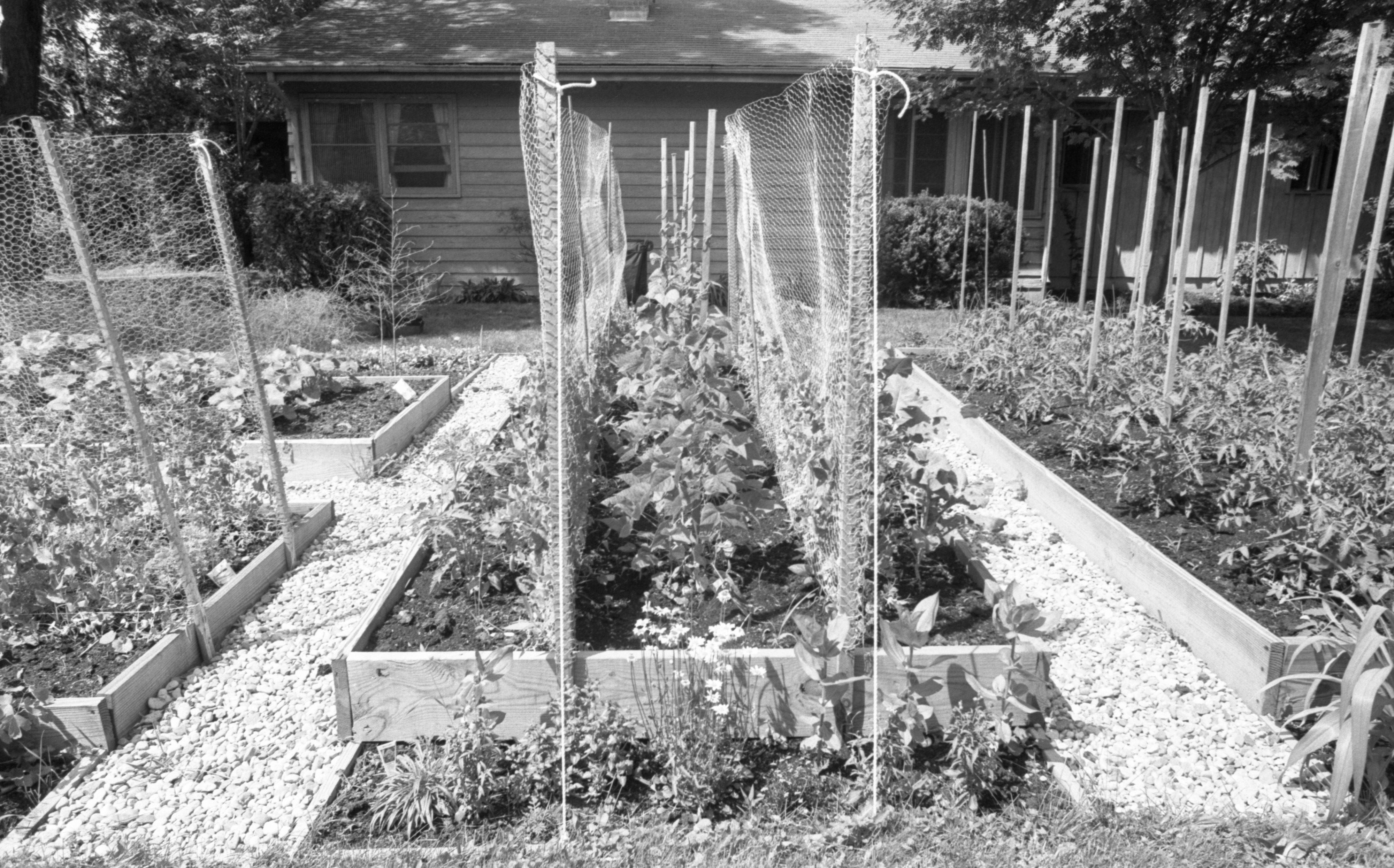 John & Marj Roth's Vegetable Gardens, June 1984 image