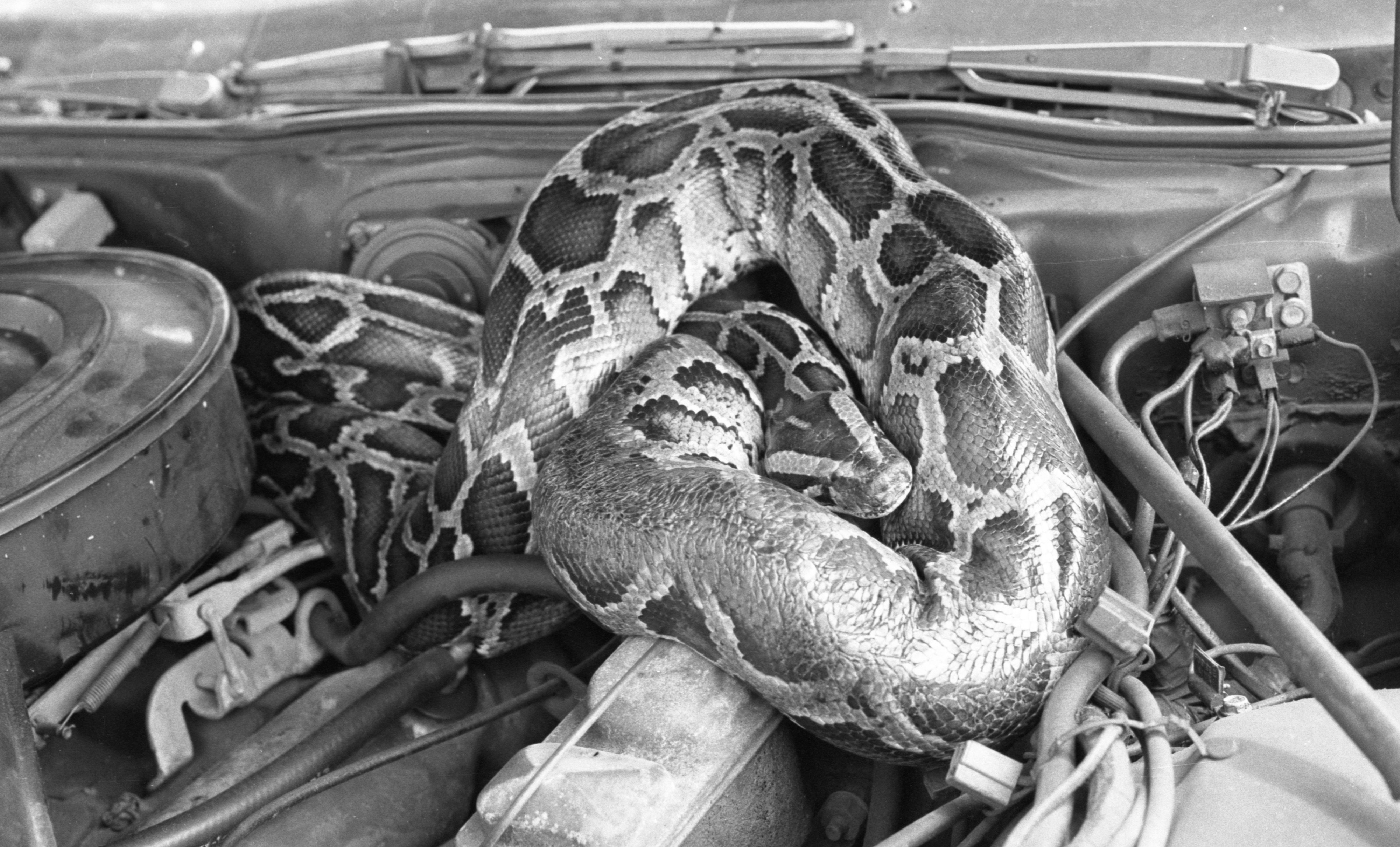 Python Found Sleeping Under The Hood Of A Car, August 1983 image